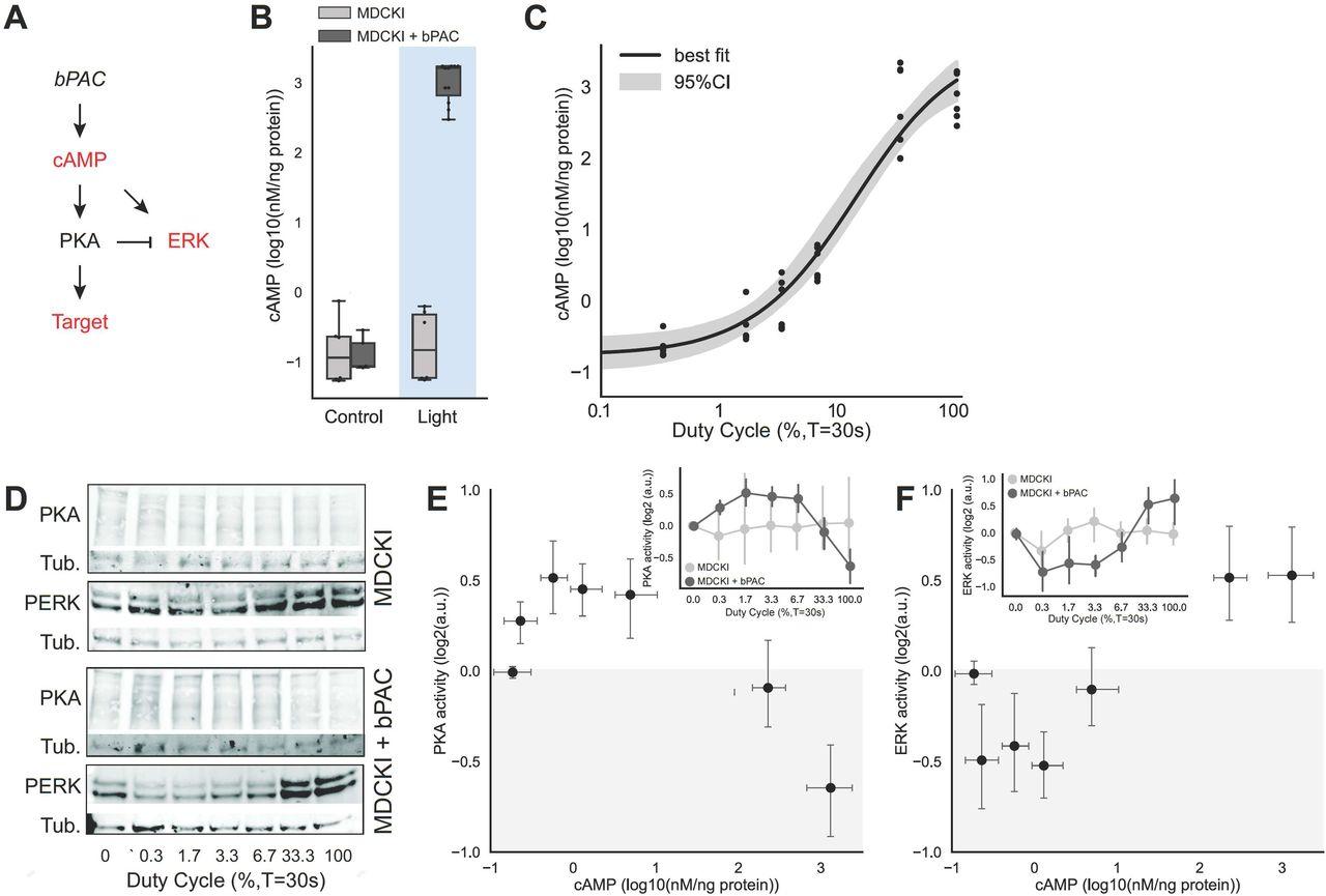 Biphasic Response of Protein Kinase A to Cyclic Adenosine