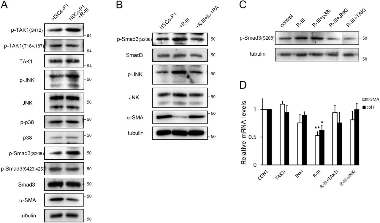 IL-1β induces linker phosphorylation of <t>Smad3</t> in HSCs. (A) HSCs-P1 were treated with R-III (0.3 μM) for 20 h and cell lysates were analyzed by western blotting. The Western blots are representative of three independent experiments from separate cell preparations. α-tubulin was used as a loading control. (B) HSCs-P1 were treated with R-III in the presence of IL-1RA (1 μg/ml) and analyzed by western blotting. (C, D) HSCs-P1 were treated with R-III in the presence of the inhibitor for TAK1 ((5Z)-7-Oxozeaenol, 0.25 μM), p38 (SB203580, 5 μM) and <t>JNK</t> (SP600125, 10 μM) and analyzed by western blotting (C) and real-time PCR (D). P -value, paired t-test (n = 3) (compared to untreated HSCs-P1), *P