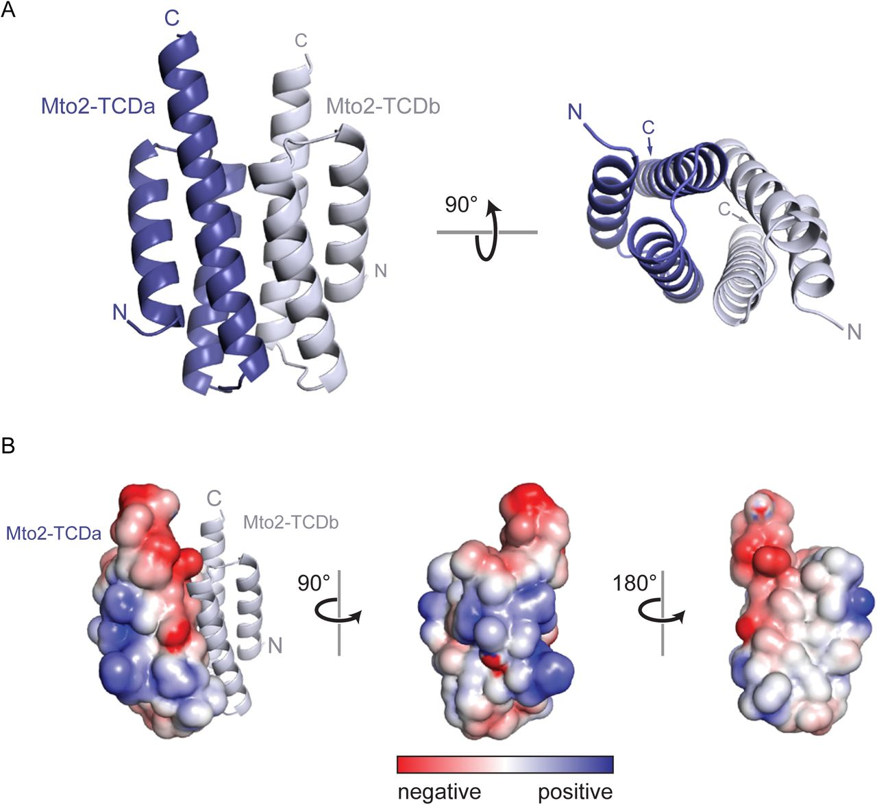 X-ray crystal structure of the Mto2 Twin-Cysteine Domain (TCD). (A) Ribbon diagram of the TCD dimer. The two monomer chains (TCDa and TCDb) are in different shades of blue. Rotated view shows proximity of the two three-helix bundles. See also Suppl. Figure 3 . (B) Surface-charge representation of the TCD monomer. Left panel includes ribbon diagram of second monomer, to show orientation of the dimer relative to A. Note absence of charged residues at the hydrophobic dimer interface (right panel, white surface).