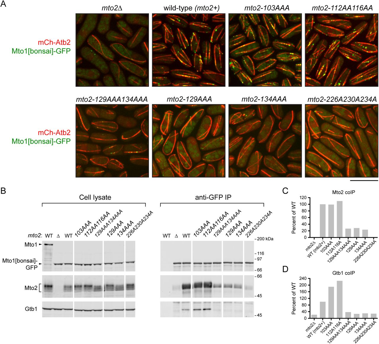 Mutations in the <t>Mto2</t> NND and <t>TCD</t> impair Mto1/2 function in vivo . (A) Microtubule organization and Mto1[bonsai]-GFP puncta formation in wild-type cells ( mto2+) and in the mto2 mutants indicated. Quantification of microtubule organization is shown in Suppl. Figure 6 . Scale bar, 10 µm. (B) Western blots for Mto1, Mto2, and γ -tubulin (Gtb1), showing coimmunoprecipitation with Mto1[bonsai]-GFP in wild-type cells and in the mto2 mutants indicated. Left-most lane is from cells with untagged full-length Mto1. (C, D) Quantification of coimmunoprecipitation of Mto2 (C) and Gtb1 (D) with Mto1[bonsai]-GFP, from blots in B.