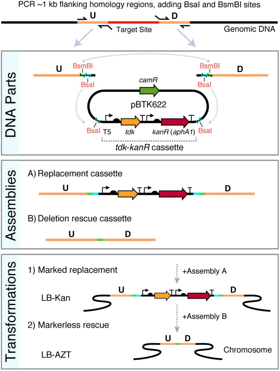 Golden Transformation method for ADP1 genome engineering. Two PCR reactions are performed to create upstream (U) and downstream (D) genomic target flanks with added terminal BsaI and BsmBI type IIS restriction sites as depicted. The two PCR products can then be combined via BsaI Golden Gate assembly (GGA) with the selection cassette to form a replacement DNA or combined with one another and optionally with additional genetic parts (not shown) via BsmBI GGA to form a rescue cassette. The positive-negative selection cassette ( tdk - kanR ) is maintained on the high-copy pBTK622 plasmid that has an origin that does not replicate in A. baylyi . The first GGA reaction is added to an A. baylyi culture and then plated on LB-Kan to select for transformants with the replacement cassette integrated into the genome. Then, transformation of the second assembly reaction with counterselection on LB-AZT is used to move the unmarked deletions/additions encoded on the rescue cassette into the genome.