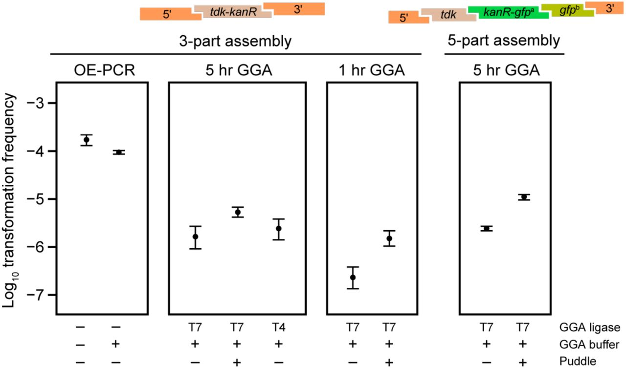 """Golden Transformation can achieve high genome editing rates. Transformation of two different cassettes constructed in 3-part or 5-part Golden Gate assembly <t>(GGA)</t> reactions were compared by counting colonies obtained on LB-Kan versus LB agar. Transformations of a purified <t>DNA</t> sample constructed by overlap-extension PCR (OE-PCR) at a concentration that corresponds to 100% efficient assembly of the 3-part GGA reaction and this OE-PCR sample with GGA buffer added to it were included for comparison. The effects of """"short"""" (1 hr) or """"long"""" (5 hr) GGA thermocycling programs, using T4 versus T7 ligase in GGA reactions, and performing """"puddle"""" transformations that concentrate cells and DNA by combining them on a filter placed on an agar surface rather than in a liquid culture were also tested."""
