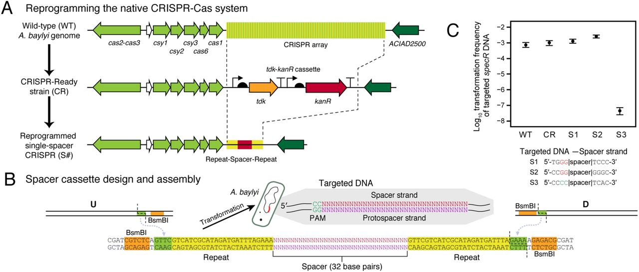 """The native A. baylyi ADP1 CRISPR-Cas system is active and can be retargeted. Scheme for reprogramming the A. baylyi CRISPR array. First, a """"CRISPR-Ready"""" strain is created by performing a Golden Transformation that replaces the entire native spacer array with a tdk - kanR cassette. Then, a second Golden Transformation can be used to add a rescue cassette that contains one or more designed spacers under control of the native gene expression signals. Single-spacer replacement cassette design. Synthetic double-stranded DNA encoding the spacer and surrounding repeats is combined with PCR products corresponding to the flanking genome homology upstream (U) and downstream (D) using BsmBI Golden Gate assembly. The inset shows the DNA sequence that is targeted for cleavage with the protospacer adjacent motif (PAM) typical of type-I CRISPR-Cas systems. (C) Reprogrammed CRISPR-Cas system restricts transformation of foreign DNA. Frequencies of transformants of genomic DNA from A. baylyi ADP1 donor that has an integrated spectinomycin resistance gene ( specR ) were used to judge whether targeting a spacer to this sequence in a recipient strain prevented its acquisition. WT is wild type ADP1-ISx and CR is the CRISPR-Ready derivative of this strain. S1 and S2 are controls with spacers that match the specR sequence but in incorrect PAM contexts. S3 is an on-target specR spacer with the correct PAM. Error bars are estimated 95% confidence intervals."""