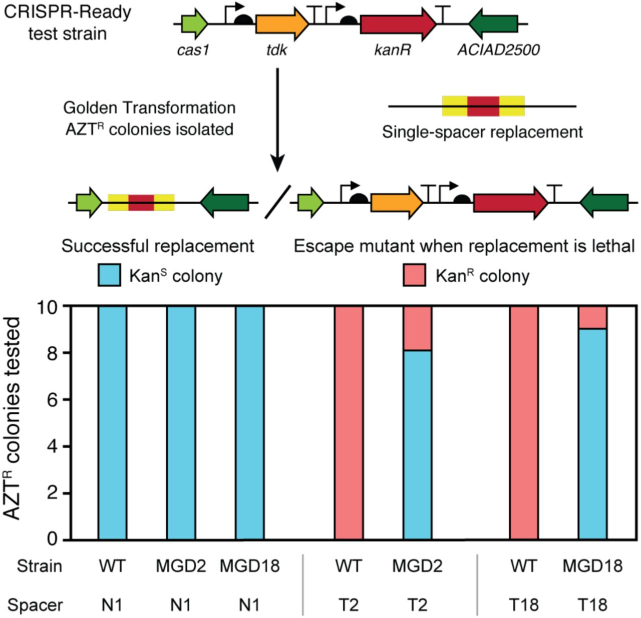 """Self-targeting spacers can be used to assure deletions and create a CRISPR-Lock. CRISPR-Ready variants of wild-type ADP1-ISx (WT) and two multiple gene deletions strains (MGD2 and MGD18) were transformed with different spacers to assess the presence of a sequence located within the putatively deleted region. N1 added back the first spacer sequence from the native CRISPR array. It serves as a control because it does not target any sequence in the A. baylyi genome. T2 and T18 are spacers that match sequences in the ADP1-ISx genome that are within the regions deleted in the corresponding MGD strains. For each strain-spacer combination tested, 10 AZT R colonies were isolated after transformation with the single-spacer replacement DNA. Successful integration of the spacer can only occur if the targeted region is not present in the recipient strain's genome. It results in these AZT R colonies also becoming Kan S . If integration of the spacer is lethal, then AZT R colonies are expected to have mutations that inactivate the tdk gene and remain Kan R , as illustrated in the upper panel. Strains with successful spacer integrations from the MGD2+T2 and MGD18+T18 transformations have a """"CRISPR-Lock"""" in their genomes that can prevent re-acquisition of the deleted regions when combining multiple deletions in further stages of the genome streamlining project."""