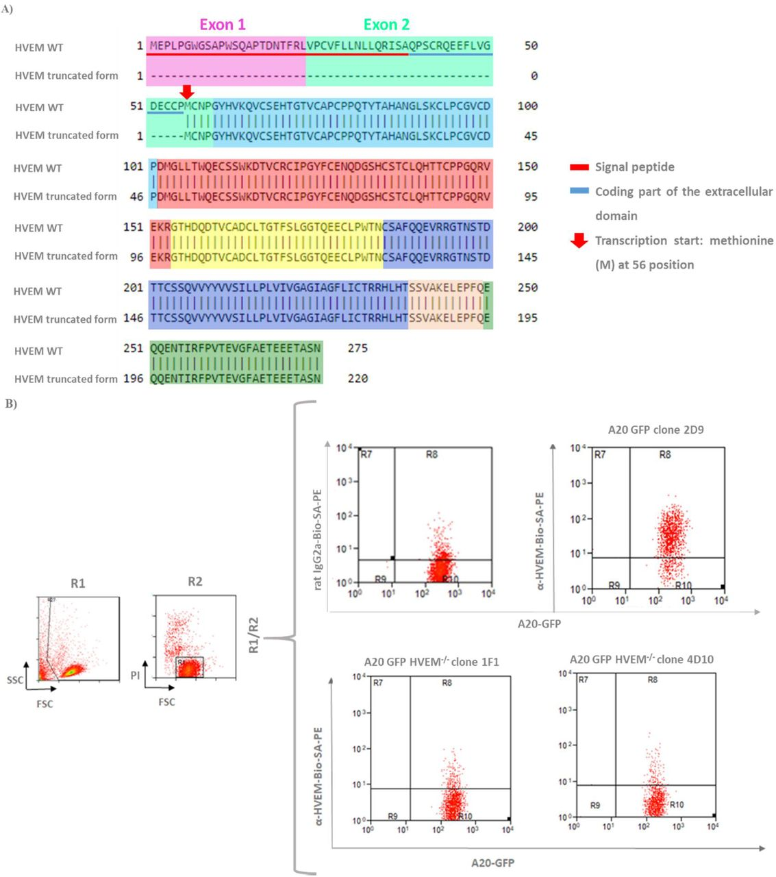 T7 endonuclease I assay shows similar efficiencies of HVEM gene CRISPR-Cas9 modification by different sgRNAs (1, 3, 6 and 13) evaluated. (A) Undigested HVEM band amplified by PCR (cleavage negative control). (B) The resulting digestions of T7/EI assay (red arrows) revealed a similar cleavage pattern to each sgRNA because they presented percentages of HVEM gene modification very similar.