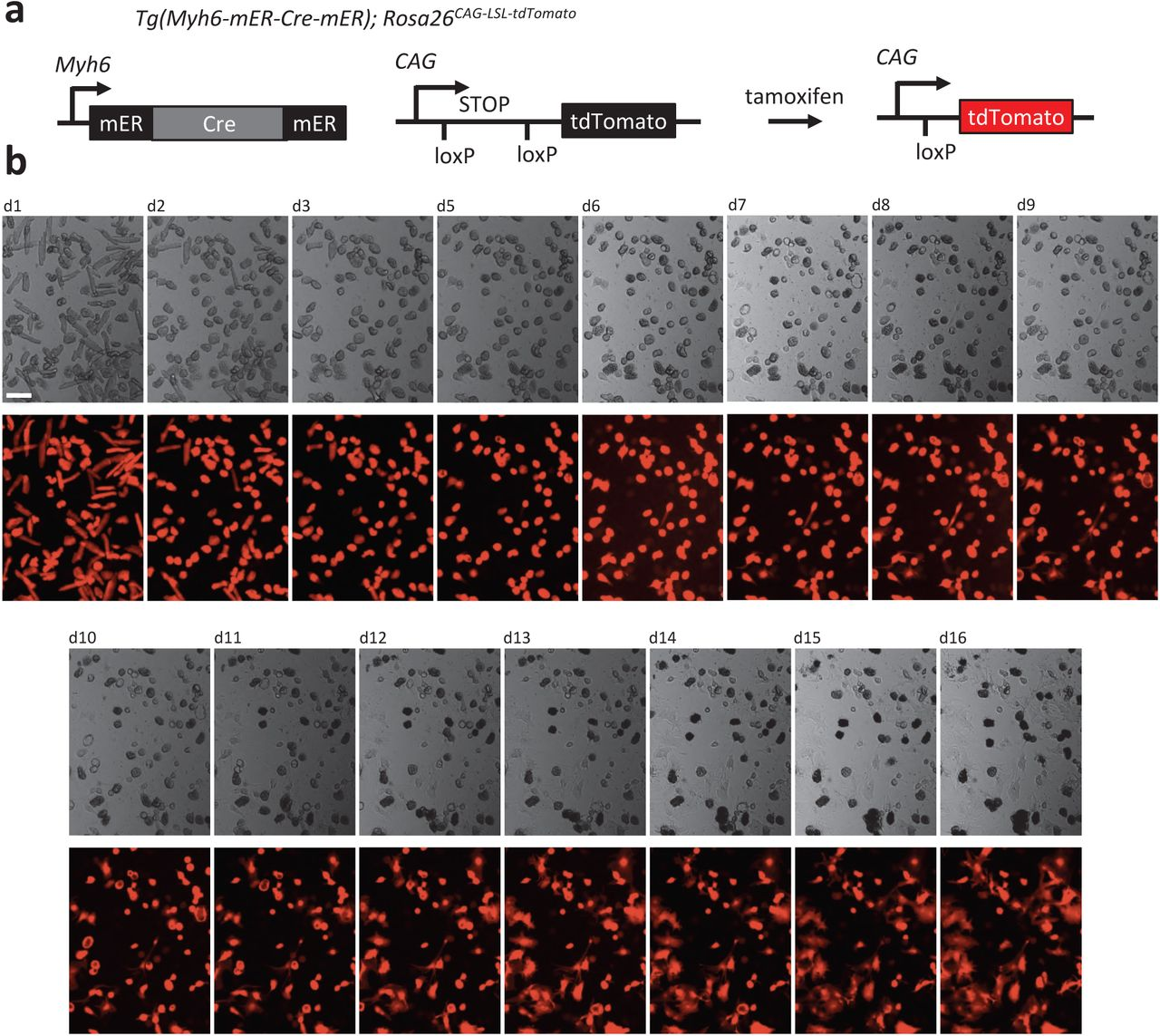 Defined factors to reactivate cell cycle activity in adult