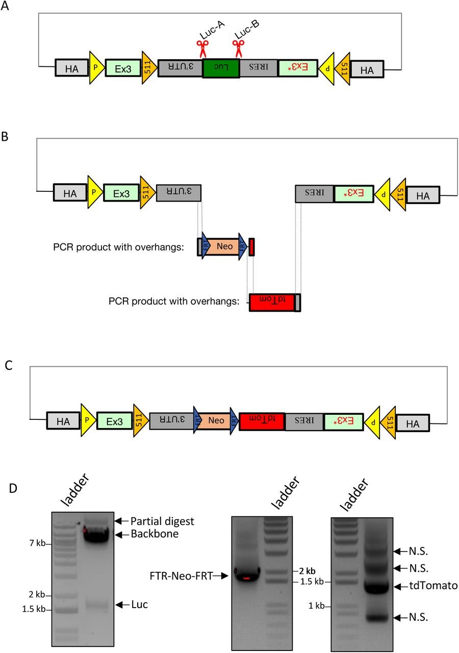 CRISPR- CLONInG : Replacement of Luciferase (Luc) on FLEx vector. (A) Schematic illustration of FLEx vector with CRISPR cut sites (red scissors) at the two junction sites flanking the undesired Luc fragment. Gray dot dashes: default backbone containing origin of replication and selection for propagation in bacterial host. (B) Luc was cut out with ctRNP (Cas9-ctRNA) complex; FRT-Neo-FRT and tdTomato were PCR-amplified from existing plasmids using primers carrying complementary Gibson overhangs from the adjacent DNA fragment and vector backbone. (C) Two new vector inserts were joined with the CRISPR-digested backbone via Gibson (HiFi) Cloning for final donor assembly. (D) Excised FLEx vector backbone (∼7.5 kb) and Luciferase (∼1.65 kb) (left); PCR amplified FRT-Neo-FRT (∼1.87 kb) and tdTomato (∼1.43 kb) (right). N.S.: non-specific bands. (E) After CRISPR- CLONInG , 14 out of 20 clones verified with PstI RE(s) diagnosis showed correct vector assembly (6 DNA fragments; black arrow); 3 clones validated for sequence integrity. Resolved on 0.9% agarose gel.
