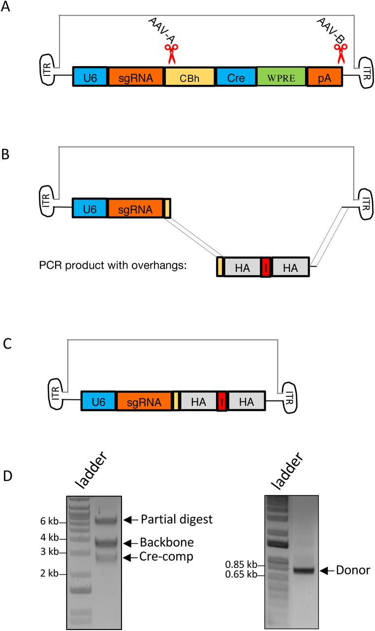 CRISPR- CLONInG : Replacement of partial cargo sequence (Cre-comp) with the desired donor sequence on AAV vector (Addgene #60229). (A) Schematic illustration of AAV vector with CRISPR cut sites (red scissors) at two ends of the Cre-comp segment. Guides (AAV-A and AAV-B) with high on-target scores were selected. (B) Cre-comp was cut out with ctRNP (Cas9-ctRNA) complex; donor for gene replacement (containing 15 bp AA replacement sequence, noted as 'R', sandwiched by HA) flanked with complementary Gibson overhangs of the adjacent AAV backbone was PCR-amplified from custom gene synthesized plasmid. (C) Assembled AAV-v1: donor template cloned into the customized AAV backbone via Gibson (HiFi) Assembly. (D) Excised AAV vector backbone (∼3.63 kb) and Cre-comp (∼2.73 kb) (left); PCR amplified donor template (∼0.8 kb) with Gibson overhangs (right). (E) After CRISPR- CLONInG , 15 out of 16 clones showed correct vector assembly, confirmed by BbsI RE(s) diagnosis (two DNA fragments; black arrow); 3 clones further validated by Sanger sequencing. Resolved on 0.9% agarose gel.