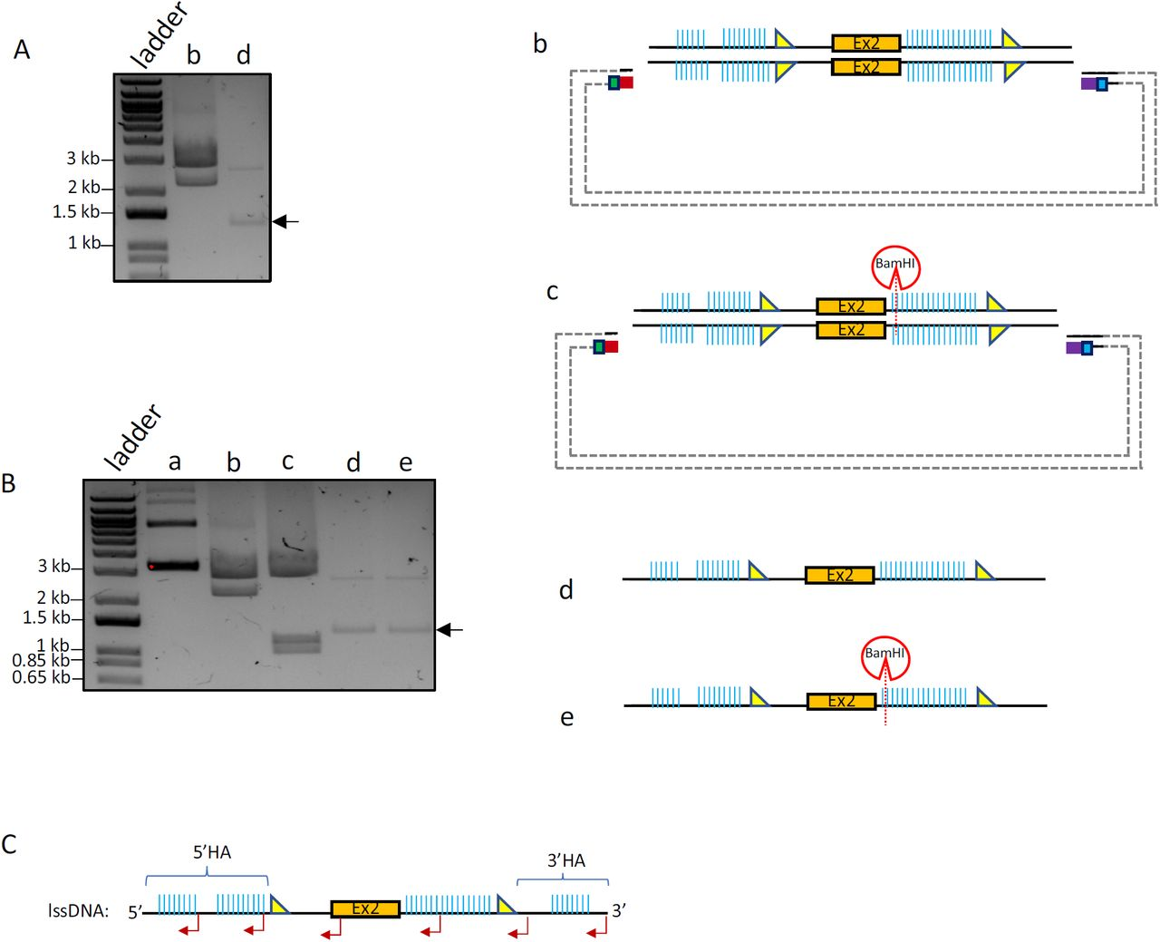 CRISPR- CLIP : Procuration of lssDNA from dsDNA template Genotyping results of the CKO mice generated with the acquired lssDNA via Easi-CRISPR . (A) dsDNA template anchored in the default plasmid; the sense ssDNA (top strand) is the donor (lssDNA) of choice. (B) Cpf1 (with guide CLIP-B) was used to create a dsDNA incision on the plasmid at one end of the lssDNA cassette, while Cas9n (with guide CLIP-A) to create a ssDNA incision at the other end, specifically on the strand of interest (top strand in this case). (C) Upon DGLB treatment, the plasmid incised by Cpf1 and Cas9n was resolved into three stand-alone distinct-sized units (0.9% agarose gel electrophoresis): ∼4.9 kbases (donor+backbone) vs. ∼2.7 kbases (backbone) vs. ∼2.2 kbases (lssDNA donor). (D) Mice genotyping screened by RE HindIII (top) and EcoRV (bottom): a pair of external screening primers amplified 2.8 kb DNA fragment (black arrow); mice with the lssDNA donor integration should carry a floxed cassette with HindII/EcoRV site adjacent to LoxP. Upon RE digestion, mouse #4 showing the insertion of both LoxPs (∼0.8 kb vs. ∼2 kb; red asterisk), further confirmed by Sanger sequencing; mouse #6 showing only HindIII digest, indicating one LoxP insertion; mouse #7 was found to carry heterozygous 1.2 kb deletion between the two guides (used for creating CKO model), verified by Sanger sequencing, thus showing a band at ∼1.6 kb. Due to incomplete RE digest and usage of EtBr pre-stained gel, the smaller bands appeared in lighter intensity; purple asterisk: non-specific PCR band.