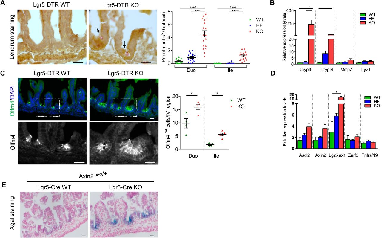 Lgr5 Controls Extracellular Matrix Production By Stem Cells In The Developing Intestine Biorxiv