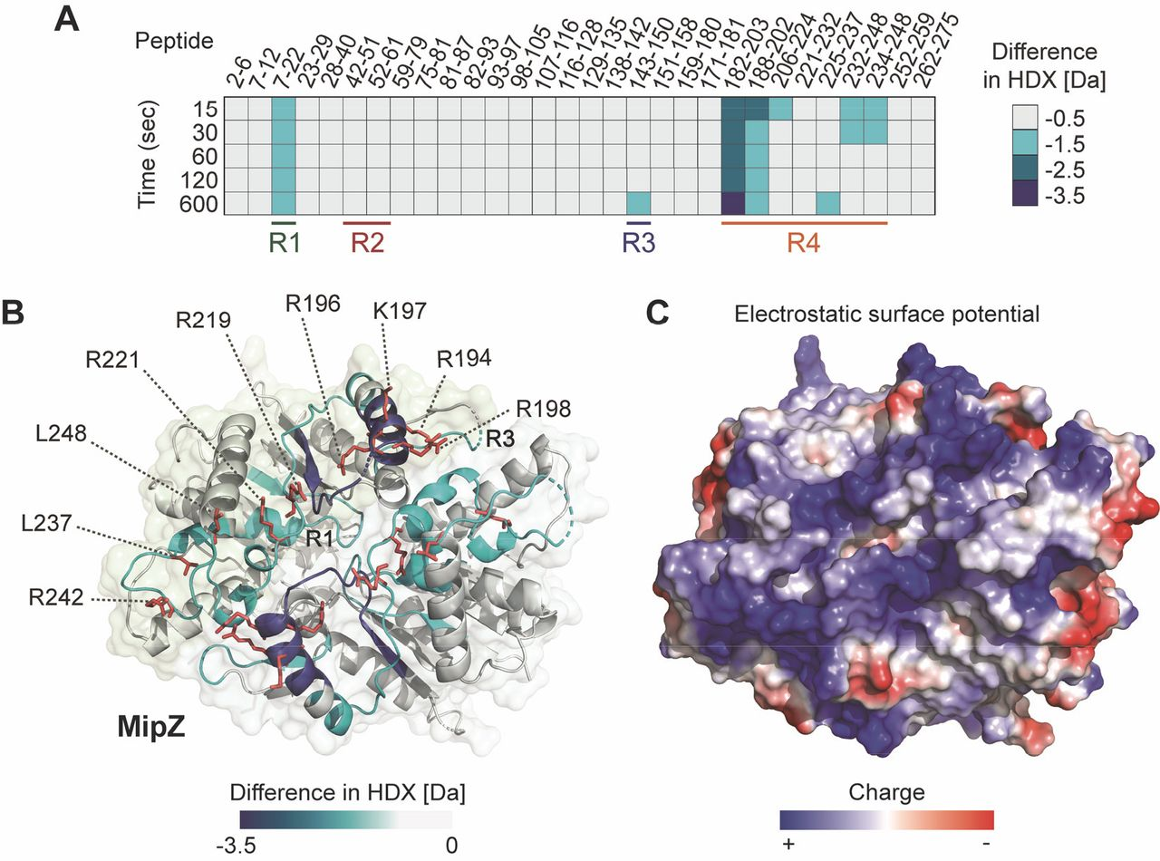 Molecular architecture of the DNA‐binding sites of the P ...