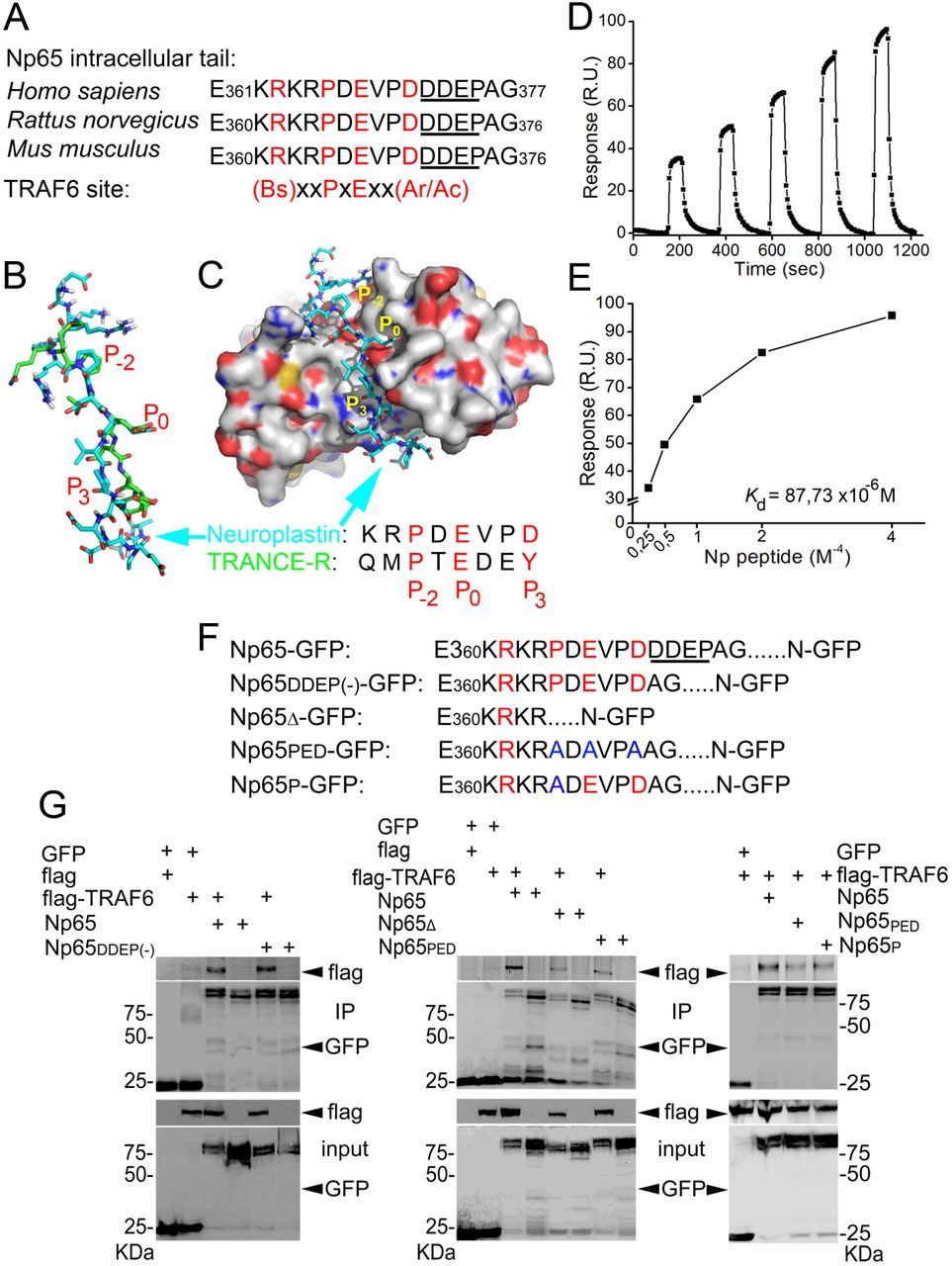TRAF6 controls excitatory spinogenesis and excitation
