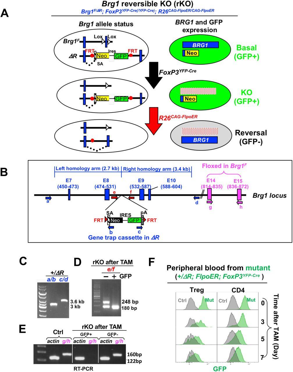 A reversible KO model reveals therapeutic potentials of