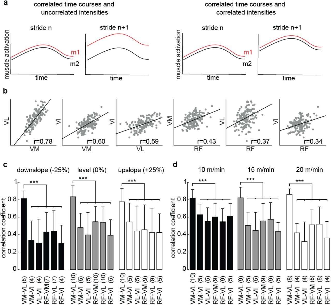 Coordination amongst quadriceps muscles suggests neural