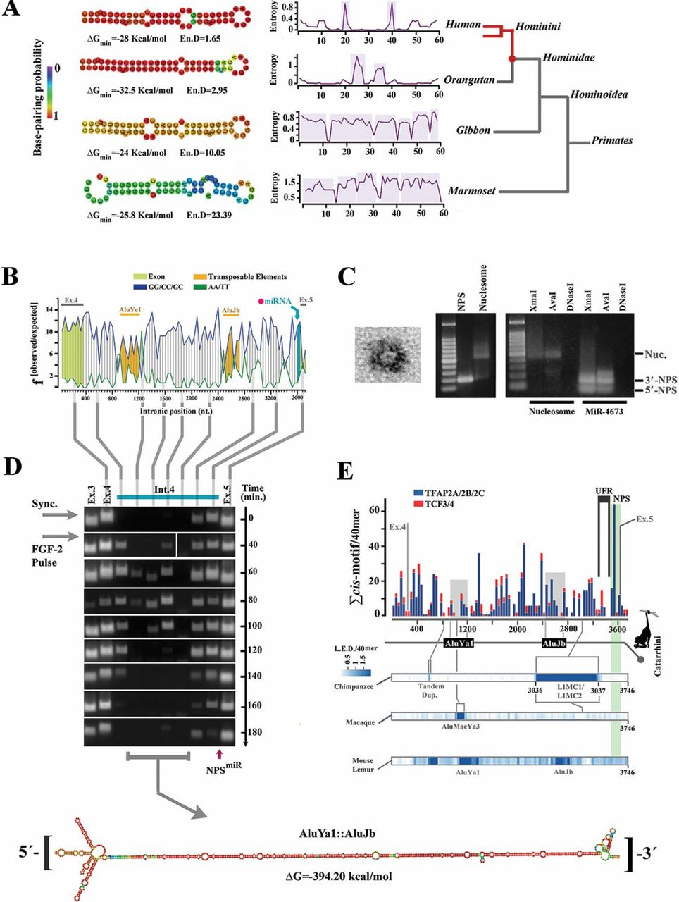 Intronic precursor of miR-4673 in notch-1 codes an active enhancer. a, Structural analysis shows improved thermodynamic stability of the RNA hairpin in primate lineage culminating in the structural maturation of miR-4673 hairpin in Hominins . b, Nucleosome-favouring dinucleotide usage map of human notch-1 intron 4. c, Transmission electron micrograph of a nucleosome formed by NPS miR (left). Gel retardation (middle) and restriction enzyme digestion assays (right) provided further confirmation for nucleosome formation by NPS miR . d , The temporal profile of enhancer-RNAs (eRNAs) that originates from Notch-1 intron-4 (full blots are provided in supplementary file 10). Vertical lines show the location of eRNAs with reference to the dinucleotide usage map. In order to access the eRNA profile, cells were synchronised at G0 and released into G1 by application of a single pulse of <t>FGF-2.</t> Note the temporal stability of 3′-eRNA from a region that corresponds to NPS miR (see supplementary file 11). This region is positioned at 3′-terminus of a stable RNA palindrome formed by two Alu elements. e, Histogram shows cumulative distribution of TCF3/4 and TFAP2A/B/C cis -motifs in the intron 4 of human notch-1. At the bottom, Levenshtein distance (L.E.D) as a measure of intronic change is aligned to the enhancer map. Sequences that belong to AluJb and AluYa1 insertions in all Simians are in grey. Species-specific transpositional events are marked in LED heat maps.