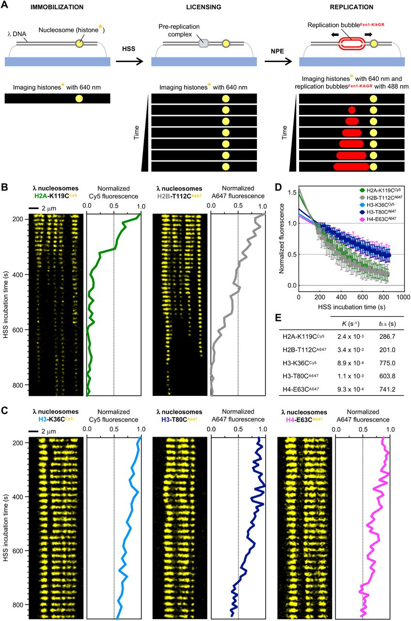 Histone dynamics during DNA licensing in HSS. (A) Schematic of the experimental set-up for real-time single-molecule imaging of nucleosome dynamics during replication in  Xenopus leavis  egg extracts.  λ  DNA containing fluorescent nucleosomes (one of the four histones labelled fluorescently) is stretched under flow and tethered at both ends to the functionalized glass surface of a microfluidic flow cell. The immobilized DNA is licensed in high-speed supernatant (HSS). Bidirectional replication is initiated upon introduction of nucleoplasmic extract (NPE) supplemented with a fluorescent fusion protein Fen1-KikGR, which decorates replication bubbles and allows progression of replication forks to be tracked in real time. Cy5- or Alexa647-labelled histones within immobilized nucleosomal templates are imaged with a 640-nm laser at each stage. Replication fork progression is visualized in NPE using a 488-nm laser. (B and C) Kymograms and corresponding intensity profiles for fluorescent  λ  nucleosomes during incubation in HSS. Nucleosomes labelled at H2A-K119C with Cy5 and H2B-T112C with AlexaFluor647 (B) show faster loss of fluorescence than nucleosomes labelled at H3-K36C with Cy5, H3-T80C with AlexaFluor647 and H4-E63C with AlexaFluor647 (C). (D) Plot showing the mean loss of fluorescent signal for  λ  nucleosomes (H2A-K119 Cy5 , H2B-T112C A647 , H3-K36C Cy5 , H3-T80C A647  and H4-E63C A647 ) during incubation in HSS. Over 100 molecules were analyzed for each histone template. Individual fluorescence decay traces were normalized to background ('0') and maximum value of fluorescence ('1'). A mean fluorescence value and standard deviation were calculated and plotted for each time point. The mean value traces were then fitted to a single exponential function. (E) Summary of the fluorescence decay rate constants ( K ) and half-lives ( t 0.5) extracted from the single exponential fit to the data presented in panel C. See Table S2 for detailed fitting parameters.