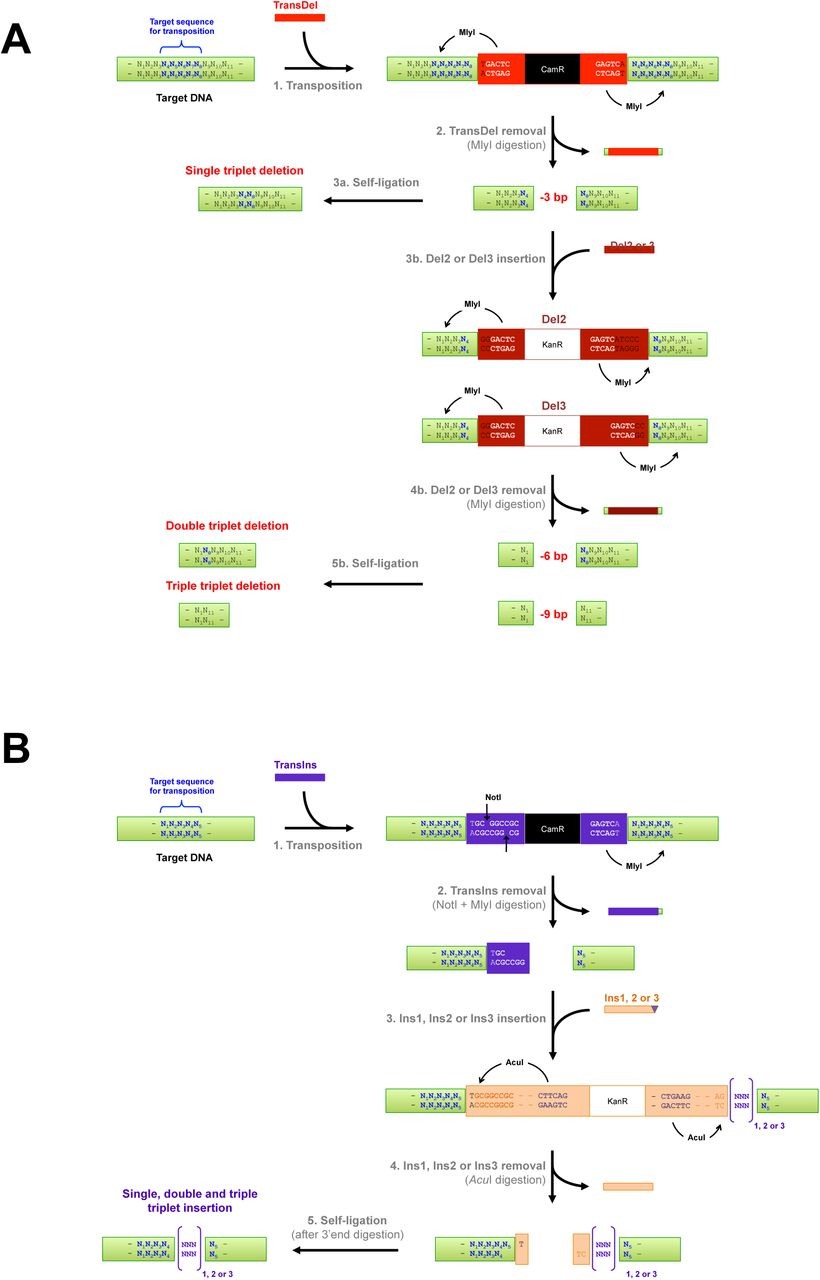 Mechanism for the generation of InDels using TRIAD. (A) Generation of single, double and triple triplet nucleotide deletions. Step 1. Two MlyI recognition sites (5'GAGTC(N) 5 ↓) are positioned at each end of TransDel, 1 bp away from the site of transposon insertion. Transposition with TransDel results in the duplication of 5 bp (N 4 N 5 N 6 N 7 N 8 ) of the target <t>DNA</t> at the insertion point. TransDel carries a selection marker (resistance gene against chloramphenicol; CamR) enabling the recovery of in vitro transposition products after transformation into E. coli . Step 2. MlyI digestion removes TransDel together with 8 bp of the target DNA (4 bp at each end), leaving blunt ends and resulting in the removal of a contiguous 3 bp sequence from the target DNA (N 5 N 6 N 7 ). Step 3a. Self-ligation reforms the target DNA minus 3 bp, as previously described 11 . Step 3b. Alternatively, blunt-ended cassettes Del2 or Del3 are ligated into the gap left upon TransDel removal for the generation of 6 and 9 bp deletions, respectively. Both Del2 and Del3 also contain two MlyI recognition sites advantageously positioned towards the ends of the cassettes. These cassettes also contain a different marker than TransDel (resistance gene against kanamycin; KanR) to avoid cross-contamination. Step 4b. MlyI digestion removes Del2 and Del3 together with respectively 3 and 6 additional bp of the original target DNA. In the case of Del2, MlyI digestion results in the removal of a 3 bp sequence (N 2 N 3 N 4 ) on one side of the cassette. In the case of Del3, MlyI digestion results in the removal of two 3 bp sequence (N 2 N 3 N 4 ) on both side of the cassette (N 2 N 3 N 4 and N 8 N 9 N 10 ). Step 5b. Self-ligation reforms the target DNA minus 6 or 9 bp. (B) Generation of single, double and triple randomized triplet nucleotide insertions. Step 1. TransDel is an asymmetric transposon with MlyI at one end and NotI at the other end. Both recognition sites are positioned 1bp away from TransIns insertion site. Upon transposition, 5 bp (N 1 N 2 N 3 N 4 N 5 ) of the target DNA are duplicated at the insertion point of TransIns. Step 2. Double digestion with NotI and MlyI results in the removal of TransIns. Digestion with MlyI removes TransIns with 4 bp (N 1 N 2 N 3 N 4 ) of the duplicated sequence at the transposon insertion site. Digestion with NotI leaves a 5', 4-base cohesive overhang. Step 3. DNA cassettes Ins1, Ins2 and Ins3 (Ins1/2/3) carrying complementary ends are ligated in the NotI/MlyI digested TransIns insertion site. Ins1, Ins2 and Ins3 carry respectively 1, 2 and 3 randomized bp triplets at their blunt-ended extremities ([NNN] 1,2 or 3 ; indicated in purple). Ins1/2/3 contain two AcuI recognition sites (5'CTGAAG(16/14)) strategically positioned towards their ends. One site is located so that AcuI will cleave at the point where the target DNA joins Ins1/2/3. The other site is positioned so that AcuI will cut inside Ins1/2/3 to leave the randomized triplet(s) with the target DNA. Step 4. Digestion with AcuI removes Ins1/2/3 leaving 3', 2-base overhangs with the target DNA ( i.e. , 5'N 5 T on one end and 5'TC on the end carrying the randomized triplet(s)). Digestion with the Large <t>Klenow</t> fragment generates blunt ends by removing the overhangs. This step also enables to discard the extra nucleotide (N 5 ) from the sequence duplicated during the transposition. Step 5. Self-ligation reforms the target DNA with one, two or three randomized nucleotide triplets.