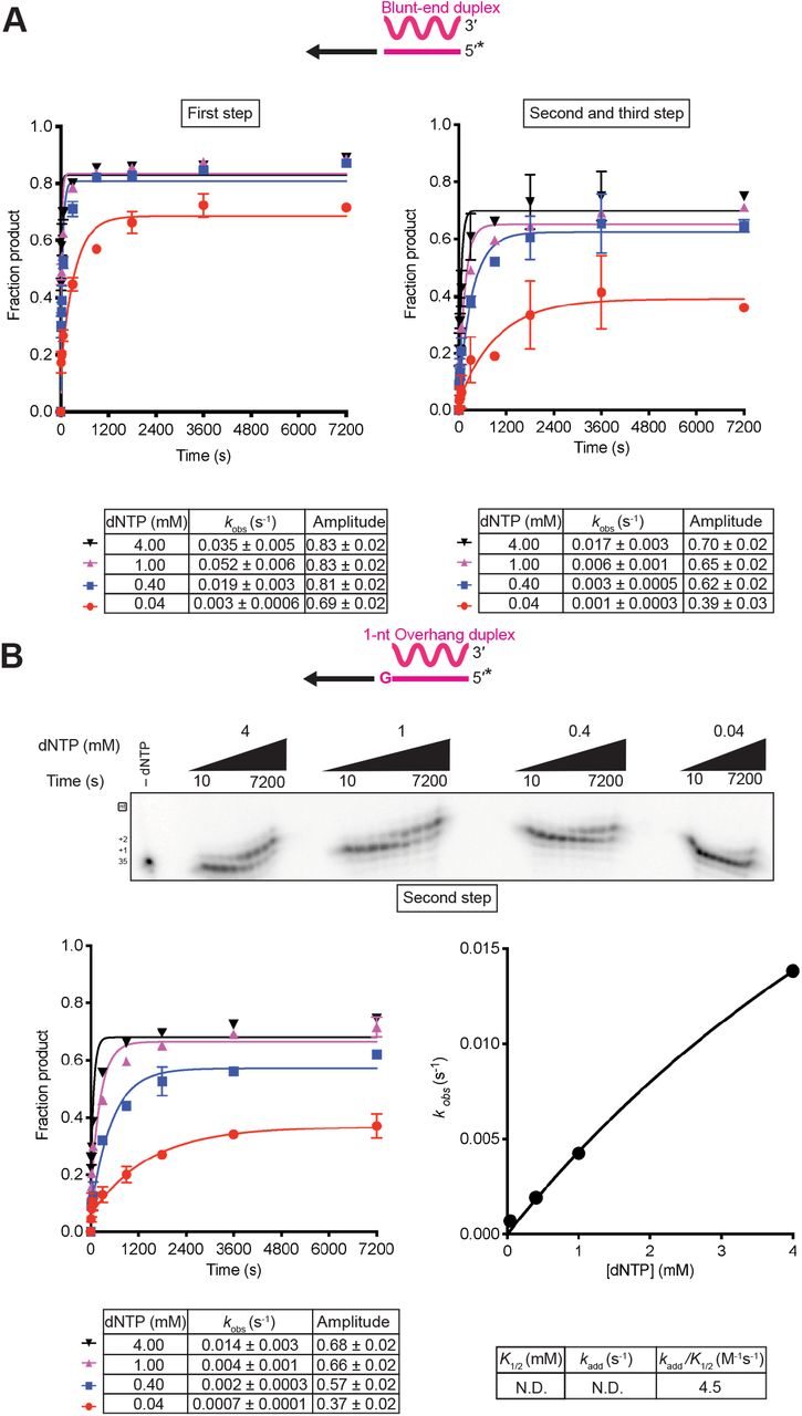 Non-templated nucleotide addition activity to blunt-end and 1-nt 3' overhang starter duplexes using mixed dNTPs. A , Reactions included 500 nM GsI-II RT and 50 nM of a blunt-end starter duplex with 5'- 32 P-labeled (*) DNA primer in a solution containing 200 mM NaCl and varying dNTP concentrations (0.04, 0.4, 1, and 4 mM, where 4 mM is an equimolar mix of 1 mM dATP, dCTP, dGTP, and dTTP). Aliquots were quenched at times from 10 s to 7,200 s, and the products were analyzed by electrophoresis in a denaturing polyacrylamide gel, which was dried and scanned with a phosphorimager (gels and calculated kinetic parameters shown in Fig. 4 ). B , Reactions included 500 nM GsI-II RT and 50 nM of a 1-nt G overhang starter duplex and 200 mM NaCl. Reaction aliquots were stopped at times from 10 to 7,200 s, and the products were analyzed as in A. The observed rates for the first NTA from this template were used to calculate the kinetic parameters shown below the plot.