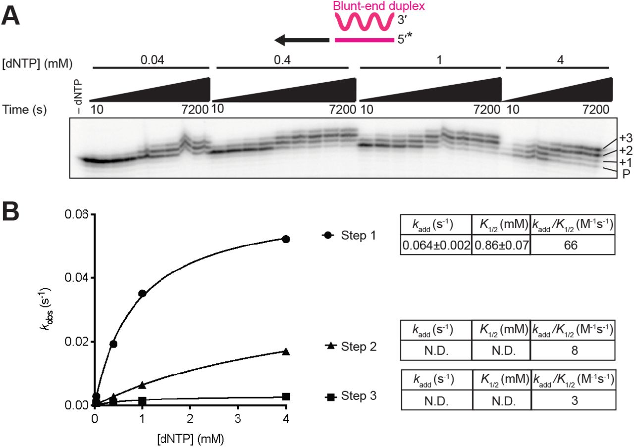 Non-templated nucleotide addition activity of GsI-IIC RT using a mixture of all four dNTPs. Reactions included 500 nM GsI-II RT and 50 nM of a blunt-end starter duplex with 5'- 32 P-labeled (*) DNA primer in reaction medium containing 200 mM NaCl and varying dNTP concentrations (0.04, 0.4, 1, and 4 mM, where 4 mM is an equimolar mix of 1 mM dATP, dCTP, dGTP, and dTTP). Aliquots were stopped after times ranging from 10 to 7,200 s, and the products were analyzed by electrophoresis in a denaturing polyacrylamide gel, which was dried and scanned with a phosphorimager. Each product band was quantified individually and summed to estimate the rate of step 1. Product bands 2 and 3 were summed to estimate the rate of step 2, and product band 3 was used to estimate the rate of step 3. The data were plotted and fit by a single-exponential function to calculate the k obs and amplitude parameters for each reaction. A , Representative gel showing the labeled DNA primer (P) and bands resulting from NTA of 1, 2, and 3 nucleotides to the 3' end of the DNA. B , A plot of k obs values as a function of dNTP concentration fit by a hyperbolic function to calculate k add , the catalytic rate at saturating substrate concentration; K 1/2 , the substrate concentration at half maximum k add ; and k add /K 1/2 for each NTA step (values summarized in tables to the right of the plots). The individual parameter values k add and K 1/2 were not well defined for steps two and three because saturation was not reached at 4 mM dNTP, and they are therefore indicated as N.D. (not determined). Although the progress curve of the second and third NTA products ( Fig. S4 ) would be expected to include kinetic lags in principle, the rate constants for NTA are progressively lower with repeated additions, such that the data for these additions are adequately described by simple exponential functions without lag phases. All reactions were performed at least twice, and some time points were collected three times. 