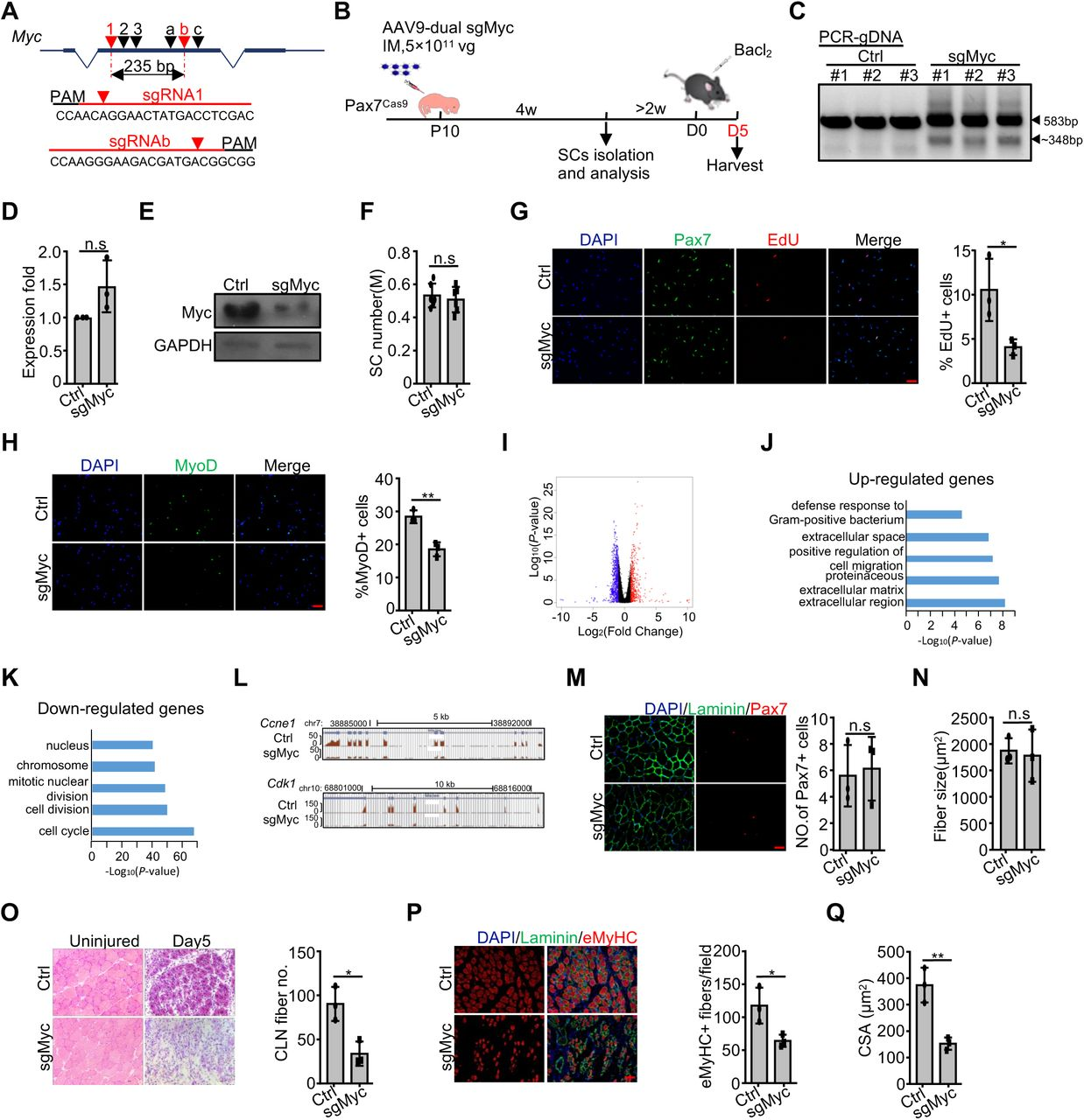 CRISPR/Cas9/AAV9 mediated genome editing of Myc hindered SC activation and muscle regeneration. ( A ) Design and selection of sgRNAs targeting Myc locus. SgRNA1 and sgRNAb were selected to delete a 235 bp of exon 2. ( B ) Schematic illustration of the experimental design for in vivo genome editing of Myc locus and analysis of its effect on SCs and muscle regeneration. Pax7 Cas9 mice were administrated with high dose of control or AAV9-dual sgMyc virus at P10 and SCs were isolated four weeks later for analysis. To assay for muscle regeneration, BaCl 2 was intramuscularly injected at the TA region of one leg at least six weeks after AAV9 virus administration. The injected muscle was harvested five days post injury and subject to analysis. ( C ) Genomic DNAs were isolated from the above sorted SCs and PCR analysis was performed to test the cleavage efficiency. Wide type (583 bp) and cleaved fragments (∼348 bp) are shown by arrowheads. ( D ) The above SCs were cultured for 24 hrs and relative expression of Myc mRNAs was detected by qRT-PCR. The qRT-PCR data were normalized to 18S mRNA (n=3 in each group). ( E ) Myc protein level in the above SCs was examined by Western blot. GAPDH was used as loading control. ( F ) The number of SCs isolated from the above control or dual sgMyc virus treated mice (n = 6 in each group). M: million. ( G ) The above FISCs were labeled with EdU for 24 hrs and the percentage of EdU positive cells was quantified (n = 3 in each group). Scale bar, 50 μm. ( H ) The above FISCs were IF stained for MyoD expression four hrs after seeding (Left) and the percentage of positively stained cells was quantified (Right) (n = 3 in each group). Scale bar, 50 μm. ( I ) RNAs were isolated from the above SCs cultured for 24 hrs and subject to RNA-seq analysis. Differentially expressed genes were identified with blue and red dots representing down- or up-regulated genes, respectively. ( J - K ) GO analysis of the above up- or down-regulated genes was performed 