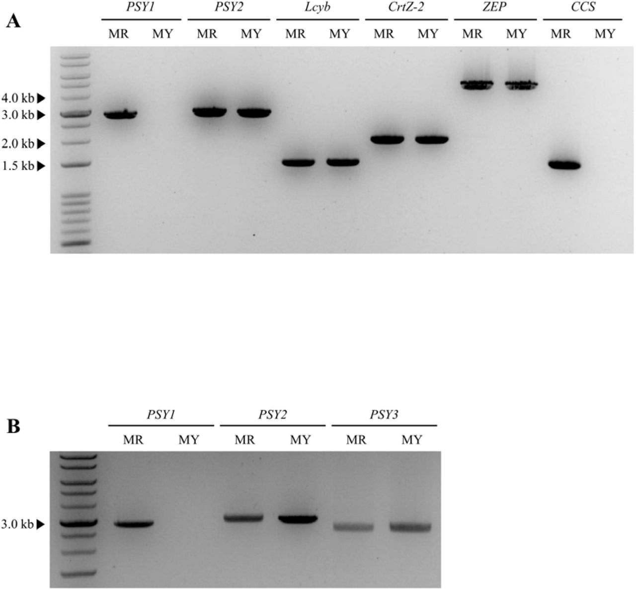 Polymorphism survey of the carotenoid biosynthetic genes. (A) gDNA amplification of six carotenoid biosynthetic genes using PCR. Primers were design to amplify the full length of each gene. From the two genotypes, the expected amplicon sizes were obtained for PSY2, Lcyb, CrtZ-2, and ZEP . No amplicon was obtained for PSY1 and CCS in MY. (B) gDNA PCR amplification of the PSY genes. A difference in the amplification pattern between MY and MR was only detected for PSY1 , for which no amplicon was obtained from MY.