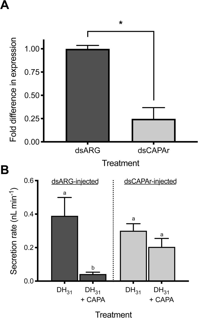 RNA interference (RNAi) of CAPAr abolishes anti-diuretic activity of CAPA neuropeptide on adult female A. aegypti MTs. (A) Verification of significant knockdown ( > 75%) of CAPAr transcript in MTs of four-day old adult female A. aegypti by RNAi achieved through injection of dsCAPAr on day one post-eclosion. (B) Functional consequences of CAPAr knockdown demonstrating loss of anti-diuretic hormone activity by Aedae CAPA-1 against Drome DH 31 -stimulated fluid secretion by MTs. In (A), knockdown of CAPAr transcript was analyzed by one-tailed t-test (* denotes significant knockdown, p