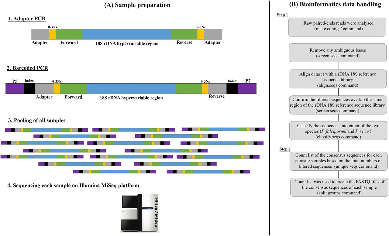 Schematic representation of the sample preparation (A) and the bioinformatics data handling (B) of the metabarcoded sequencing library. (A) In the first-round PCR amplification, overhanging forward and reverse primers were used to amplify the rDNA 18S. The adapter base pairs provide the target sites for the primers used for sequencing and the random nucleotides (0-3Ns) were inserted between the primers and the adapter to offset the reading frame, therefore amplicons prevent the oversaturation of the MiSeq sequencing channels. The second-round PCR amplification was then performed using overhanging barcoded primers bound to the adapter tags to add indices, as well as the P7 and P5 regions required to bind to the MiSeq flow cell. (B) Text files containing rDNA 18S sequence data (FASTQ files) were generated from the Illumina MiSeq binary raw data outputs, and data analyses were performed using a bespoke modified pipeline in Mothur v1.39.5 software ( Schloss et al., 2009 ) and Illumina MiSeq standard procedures ( Kozich et al., 2013 ) as described in materials and methods section 2.4 .
