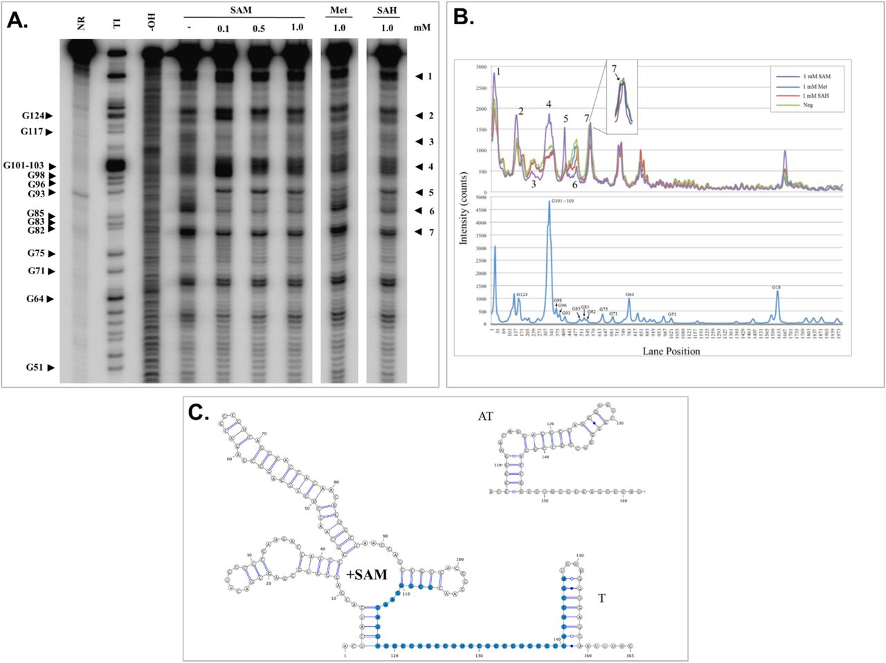 Structural analysis of the DseA riboswitch. ( A ) Spontaneous cleavage pattern of DseA in the absence or presence of SAM, methionine (Met), or SAH as indicated. The location of some of the guanosine residues (G) cleaved by RNase T1 is indicated. NR: no reaction; T1: RNase T1 ladder; -OH: alkaline hydrolysis ladder. ( B ) Lane profiles as determined by the program ImageQuant (GE Healthcare) of in-line probing gel. The numbers match to the same numbered areas of the gel. The lane profile of the T1 ladder is plotted in the bottom panel and represents the G residues as labeled. ( C ) Predicted secondary structure of DseA. When SAM concentrations are high an intrinsic terminator (T) is predicted to form. When SAM concentrations drop the anti-terminator (AT) forms instead. Bases colored blue are involved in forming the antiterminator.