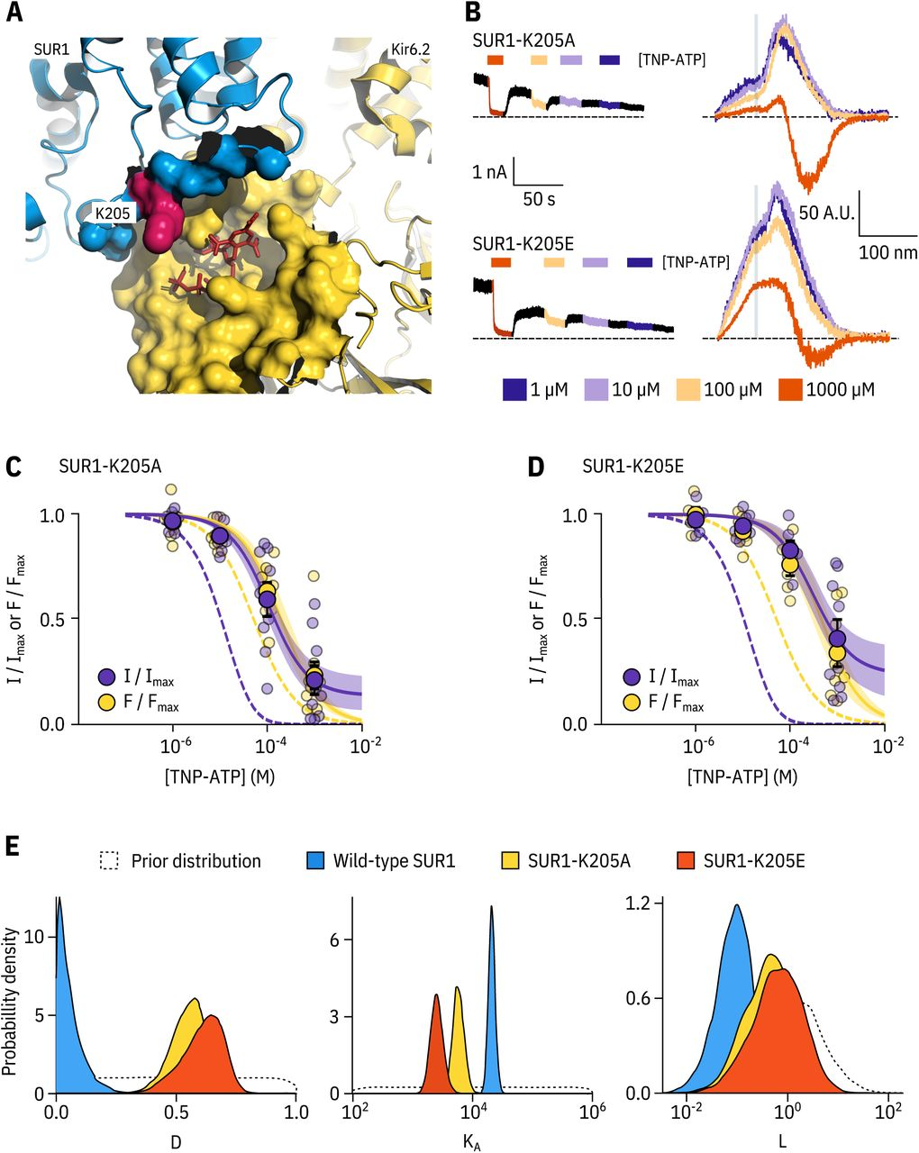 SUR1-K205 modulates both nucleotide affinity and inhibition of Kir6.2. A. H ydrophobic surface representation of Kir6.2 (yellow, PDB accession #6BAA) and SUR1 (blue, PDB accession #6PZI), Residue K205 on SUR1 is highlighted in pink. As this residue was built as an alanine in the structure, we used the mutagenesis tool in PyMol to insert the native lysine residue. A docked TNP-ATP molecule is shown in red, B. Representative current and fluorescence traces acquired simultaneously from excised patchesexpressing Kir6.2*-GFP with SUR1-K205Aor SUR1-K205E. C,D. Concentration-response for TNP-ATP inhibition of currents ( I / I max ) and for quenching of ANAP fluorescence ( F / F max ) in excised inside-out membrane patches expressing Kir6.2*-GFP + SUR1-K205A (C, n = 9) or Kir6.2*-GFP + SUR1-K205E (D, n = 9), Data were fit to the MWC-type model. Solid curves represent the median fits and shaded areas indicate the 95% quantile intervals. Fits to Kir6.2*-GFP + wild-type SUR1 are shown as dashed curves, E. Posterior probability distributions for the full MWC-type model fit to Kir6.2*-GFP co-expressed with wild-type SUR1 (fits from Figure 2 ), SUR1-K205A and SUR1-K205E overlaid on the prior probability distribution.