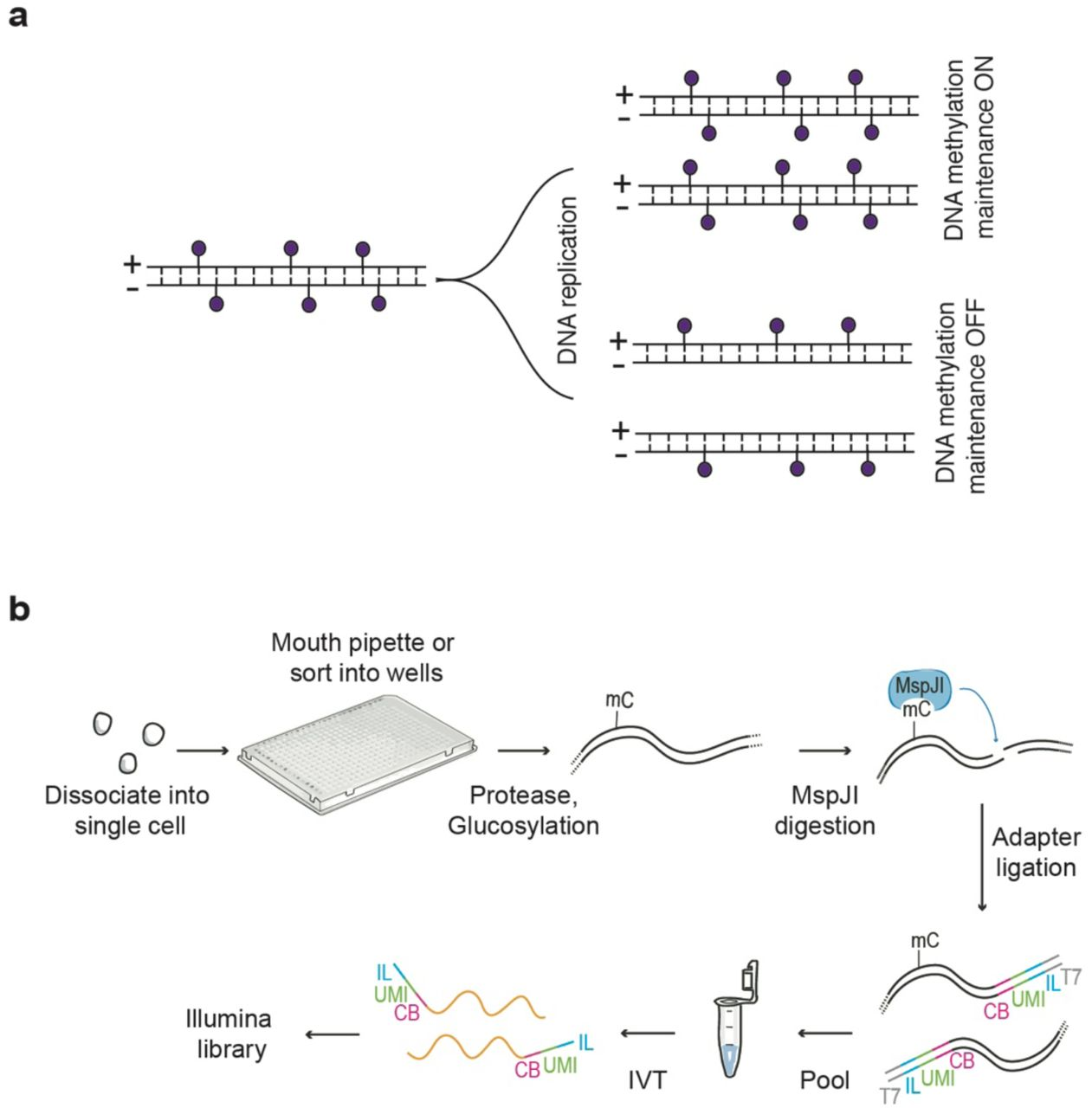 Schematic of scMspJI-seq. ( a ) DNA methylation maintenance can be probed using strand-specific quantification of 5mC in single cells. Cells displaying methylation maintenance have symmetric levels of 5mCpG on both DNA strands of a chromosome while loss of methylation maintenance results in asymmetric levels of 5mCpG between the two DNA strands. ( b ) Single cells isolated by FACS or manual pipetting are deposited into 384-well plates and lysed. Following protease treatment to strip off chromatin and blocking of 5hmC sites by glucosylation, MspJI is used to recognize 5mC sites and cut gDNA 16 bp downstream of the methylated cytosine. After ligating double-stranded adapters – containing a cell-specific barcode (CB, pink), a random 3 bp unique molecule identifier to label individual 5mC sites on different alleles (UMI, green), 5' Illumina adapter (IL, blue) and T7 promoter (T7, gray) – to the fragmented gDNA, molecules from all single cells are pooled and amplified by in vitro transcription. The amplified RNA molecules are used to prepare scMspJI-seq libraries and sequenced on an Illumina platform.