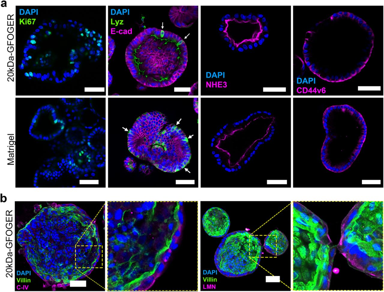 Niche Inspired Synthetic Matrices For Epithelial Organoid Culture Biorxiv