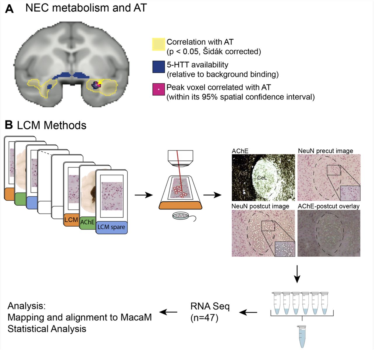 AT-associated PET metabolism in the Ce as a rationale for laser capture microdissection and sequencing of CeL neurons. (A) Using data from our large sample of AT-phenotyped and brain imaged animals, we previously demonstrated that individual differences in NEC-associated PET metabolism are related to individual differences in AT (yellow, ( Oler et al., 2010 ). We identified the peak AT voxels (pink) to be in the Ce region by demonstrating an overlap with serotonin transporter binding (blue), which, relative to surrounding regions, is elevated in the CeL. (B) Brain slabs containing the amygdala were identified and the A-P location was determined before sectioning. Tissue was sectioned and mounted on LCM slides (orange and blue labels). Adjacent slides were stained with AChE (green labels) to determine the location of the CeL. LCM slides were stained with an abbreviated NeuN protocol and CeL neurons were captured into the lid of a <t>microfuge</t> tube. Post-cut overlays were made for every slide to confirm capture location. RNA from 500-600 CeL neurons was pooled and used for RNA-Seq (n=47). Reads were processed and aligned to MacaM ( Zimin et al., 2014 ).
