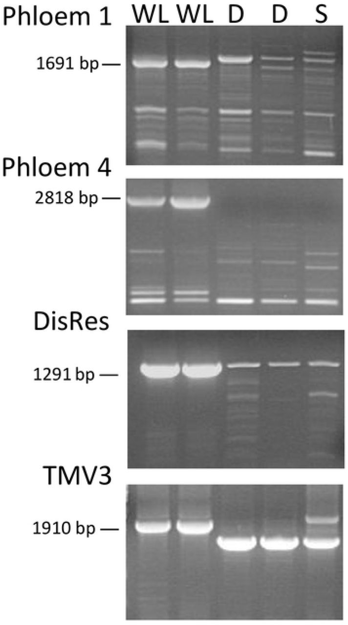 NLR -specific markers tightly linked to the Ry sto gene as detected on agarose gel. WL, 'White Lady'; D, 'Désirée'; S, 'S440'. PCR fragments were generated from genomic DNA with the primer pairs presented in Table 1 .