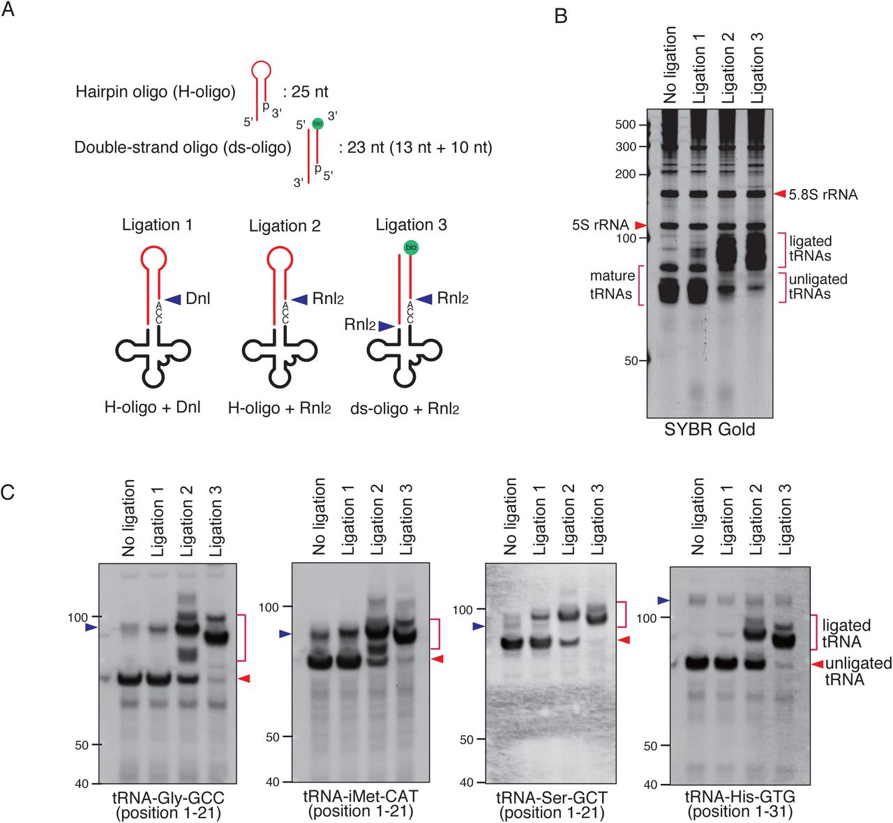 Validation of CCA-specific ligation methods. (A) Schema for three CCA-specific ligation methods. Dnl: T4 DNA ligase, <t>Rnl2:</t> <t>T4</t> RNA ligase 2, bio: biotin. (B-C) The method using double-strand oligo and RNA <t>ligase</t> 2 has the best ligation efficiency. (B) SYBR Gold staining and (C) Northern blotting for CCA-specific ligation products. The blue arrowheads indicate the bands for pre-tRNAs.
