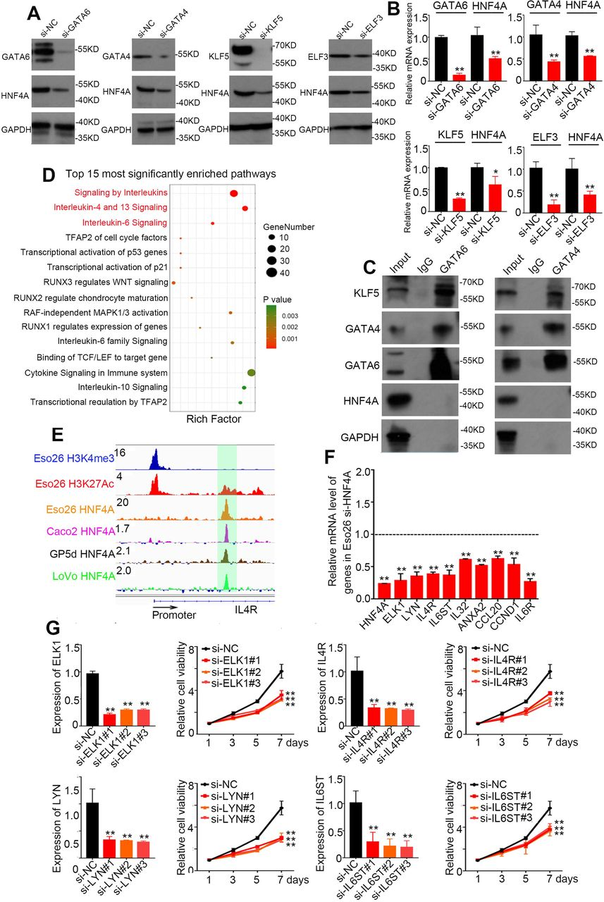 Upstream and downstream regulation of HNF4A in GIAC cells (A) Western Blotting and (B) qRT-PCR assay upon each individual knockdown of indicated MRTFs in Eso26 cells. (C) Co-IP assay of <t>GATA4,</t> GATA6, and HNF4A in Eso26 cells. (D) Pathway enrichment analysis of the differentially expressed genes upon silencing of HNF4A in Eso26 cells. (E) HNF4A ChIP-Seq showing its binding peak at the enhancer of IL4R in Eso26 (EAC), Caco2 (COAD), GP5d (COAD) and LoVo (COAD) cells. (F) qRT-PCR analysis showed that knockdown of HNF4A decreased the expression level of the HNF4A targets of Interleukin signaling. (G) IL4R, LYN, ELK1 and IL6ST was silenced by individual siRNAs in Eso26 cells, and cell proliferation was measured. Mean ± s.d. are shown. *, P