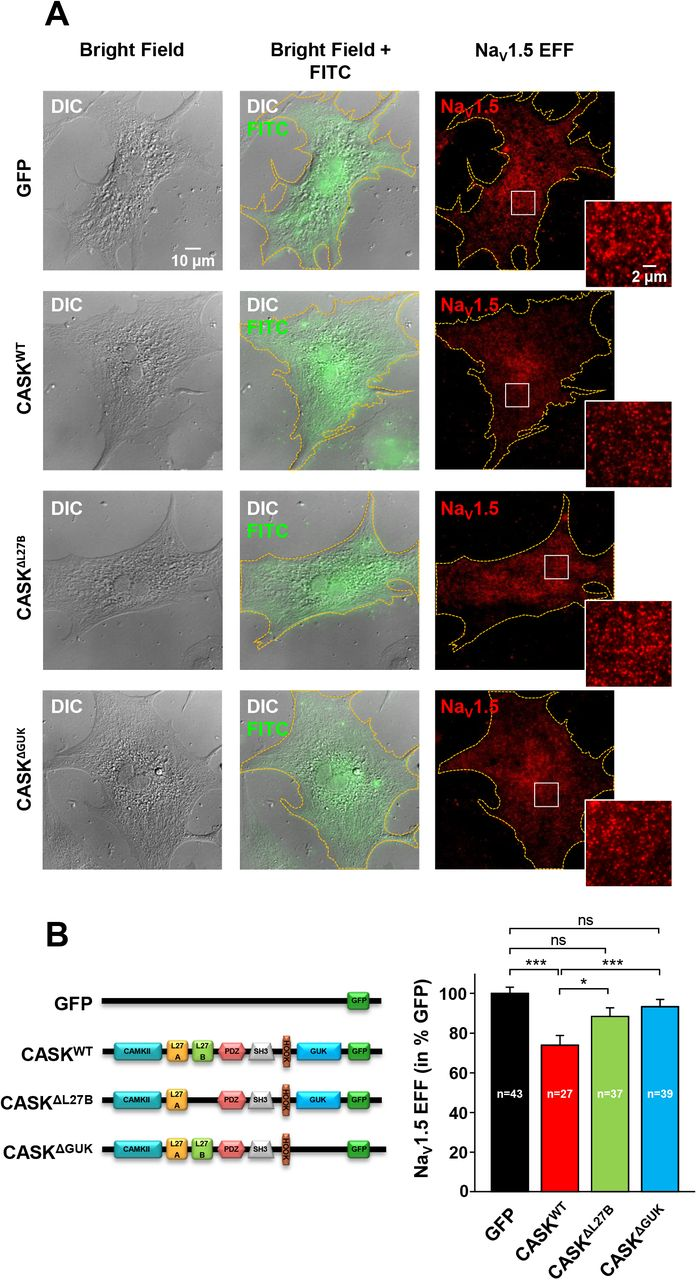 Deleting L27B or GUK CASK domains increases cardiac Na V 1.5 channel surface expression. (A) Representatives differential interference contrast (DIC) and Total internal reflection fluorescence microscopy (TIRFm) images of both GFP and Na V 1.5 signal taken from fixed cultured cardiomyocytes transduced with either GFP, CASK WT , CASK ΔL27B , or CASK ΔGUK . (B) Histograms of Na V 1.5 evanescent field fluorescence (EFF) intensity in arbitrary units and normalized to GFP control. Legend: ns, not significant; * P