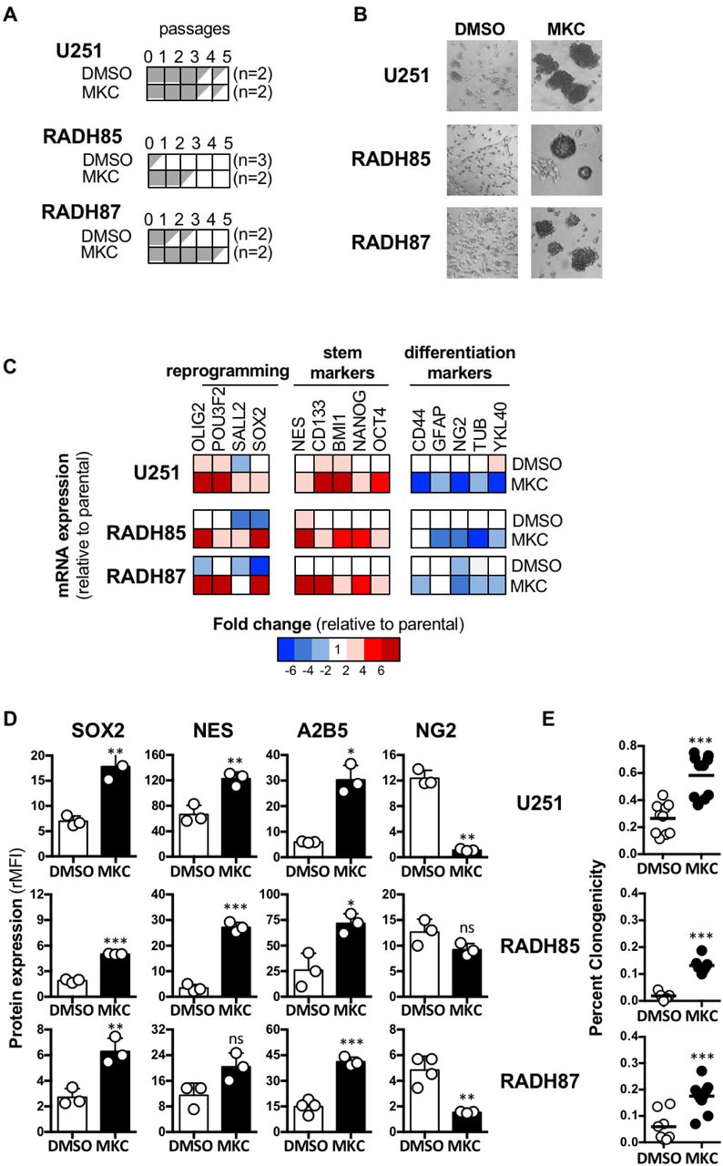 Pharmacological inhibition of IRE1 effect on GBM cell reprogramming. A) Differentiated GBM cell lines U251, RADH85 and RADH87 were cultured in neurosphere medium in the presence of MKC (5 µM), and were passaged every 14 days. If the number of cells was under the initial number of cells seeded (10 6 ), the culture is stopped (n=2 to 3). B) Phenotypic characterization of parental adherent (RADH85/87 and U251) lines through culture in neurosphere medium treated with MKC or DMSO. C) Heat map representation of fold change of mRNA expression of genes involved in reprogramming, stemness and differentiation normalized to parental in U251, RADH85, and RADH87 lines when grown in neurosphere media in the presence of MKC or DMSO. D) Protein expression of reprogramming, stemness and differentiation markers in these lines compared to parental lines determined by flow cytometry. E) Quantification of clonogenicity of single cell parental, WT or Q* IRE1 expressing RADH85/87 and U251 lines when seeded in serum-free medium in the presence of MKC or DMSO. (ns): not significant; (*): p