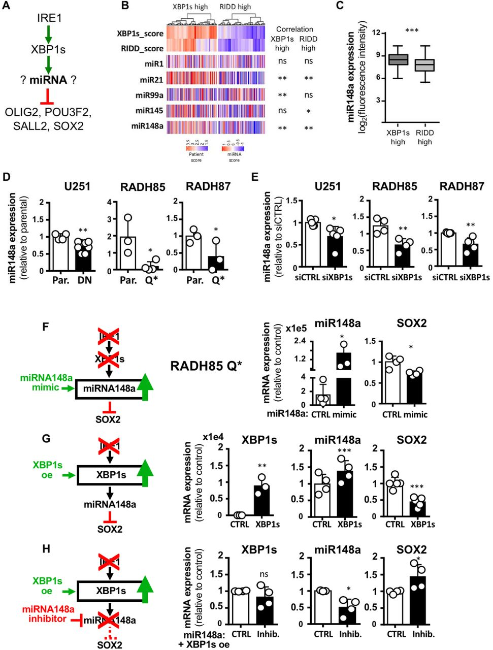 XBP1s-dependent expression of miR148a prevents GBM cell reprogramming. A) Schematic representation of hypothesis of effect of IRE1 signaling on reprogramming TFs. B) Hierarchical clustering of miRNAs in GBM (TCGA cohort) confronted to high XBP1s or high RIDD activity (blue low levels, red high levels) with the best 5 candidates shown. C) mRNA expression of miR148a based on microarray fluorescence intensity in high XBP1s and high RIDD activity tumors (TCGA cohort). D) miR148a expression in adherent lines U251, RADH85/87 expressing DN or Q* forms of IRE1 normalized to parental. E) miR148a expression in adherent lines U251, RADH85/87 transiently deficient for XBP1s through siRNA transfection compared to control. F) SOX2 and miR148a expression levels in RADH85 IRE1 Q* expressing cells in the presence of miR148a mimic compared to control. G) XBP1s, SOX2 and miR148a expression levels in RADH85 IRE1 Q* expressing cells, over-expressing XBP1s compared to control. H) XBP1s, SOX2 and miR148a expression levels in RADH85 IRE1 Q* expressing cells, over-expressing XBP1s, in the presence of miR148a inhibitors compared to control. (ns): not significant; (*): p