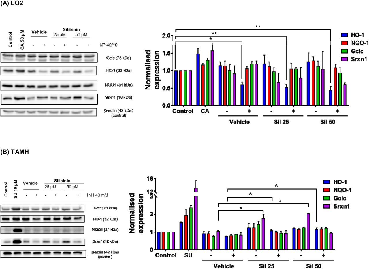 (color, 2-column). Silibinin induced expression of proteins in the Nrf2-ARE pathway and restored protein expression. Vehicle control was treated with 0.05% v/v DMSO. (A) In LO2, silibinin's reduction of ROS levels when co-administered with I/P 40/10 was independent of HO-1 protein restoration. The administration of I/P 40/10 significantly reduced HO-1 levels without silibinin (one-way ANOVA, p = 0.0150), or with silibinin at 25 μM (one-way ANOVA, p = 0.0051) and 50 μM (one-way ANOVA, p = 0.0022). Silibinin alone did not induce the expression of Gclc, HO-1, <t>NQO1,</t> and Srxn1. Positive controls were treated with the Nrf2-ARE inducer CA 50 μM for 24 h. Data represent mean ± S.E.M. of three replicates. * p
