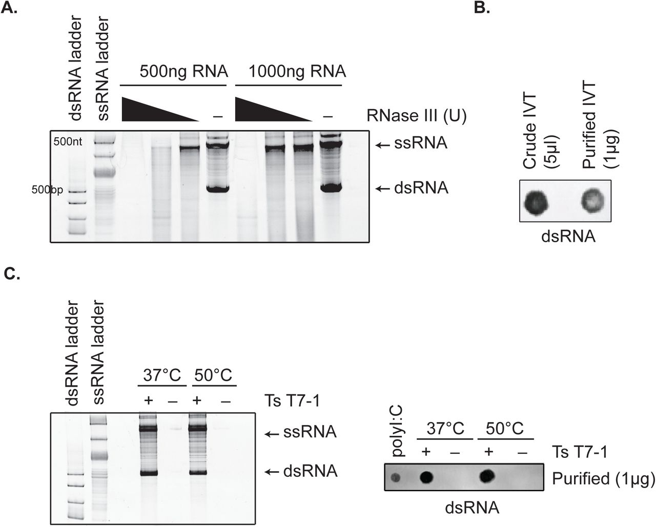 High-temperature in vitro transcription does not affect antisense dsRNA by-product formation. A) Native gel electrophoresis analyses of IVT reactions on 512B DNA template using wild-type T7 (37°C) with/without RNase III treatment. B) dsRNA immunoblot with J2 antibody on IVT reactions (crude and purified) with 512B template. C) Native gel electrophoresis analyses and dsRNA immunoblot analysis of 512B IVT reactions conducted with TsT7-1 at 37°C vs . 50°C.