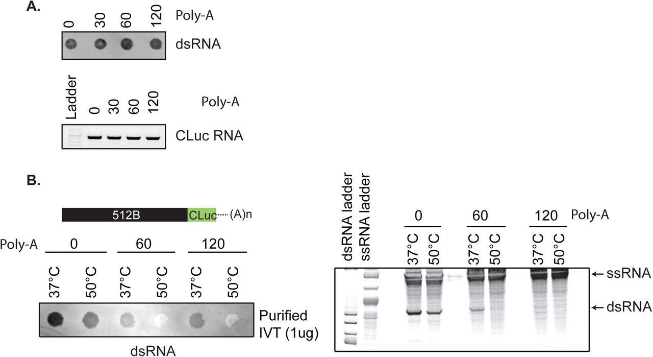 Template-encoded Poly(A) tailing reduces antisense by-product formation. A) dsRNA immunoblot with J2 antibody and gel electrophoresis analysis of CLuc RNA synthesized from CLuc templates with varying length (30 bp, 60 bp, 120 bp) of poly-T sequence at 3'-end under standard conditions (5 mM rNTPs, 37°C for 1 hour). B) Immunoblot and native gel electrophoresis analysis of IVT reactions on 512B::CLuc chimeric template with poly-T (60 bp and 120 bp) sequence at the 3'-end. IVT reactions were performed at 37°C or 50°C.