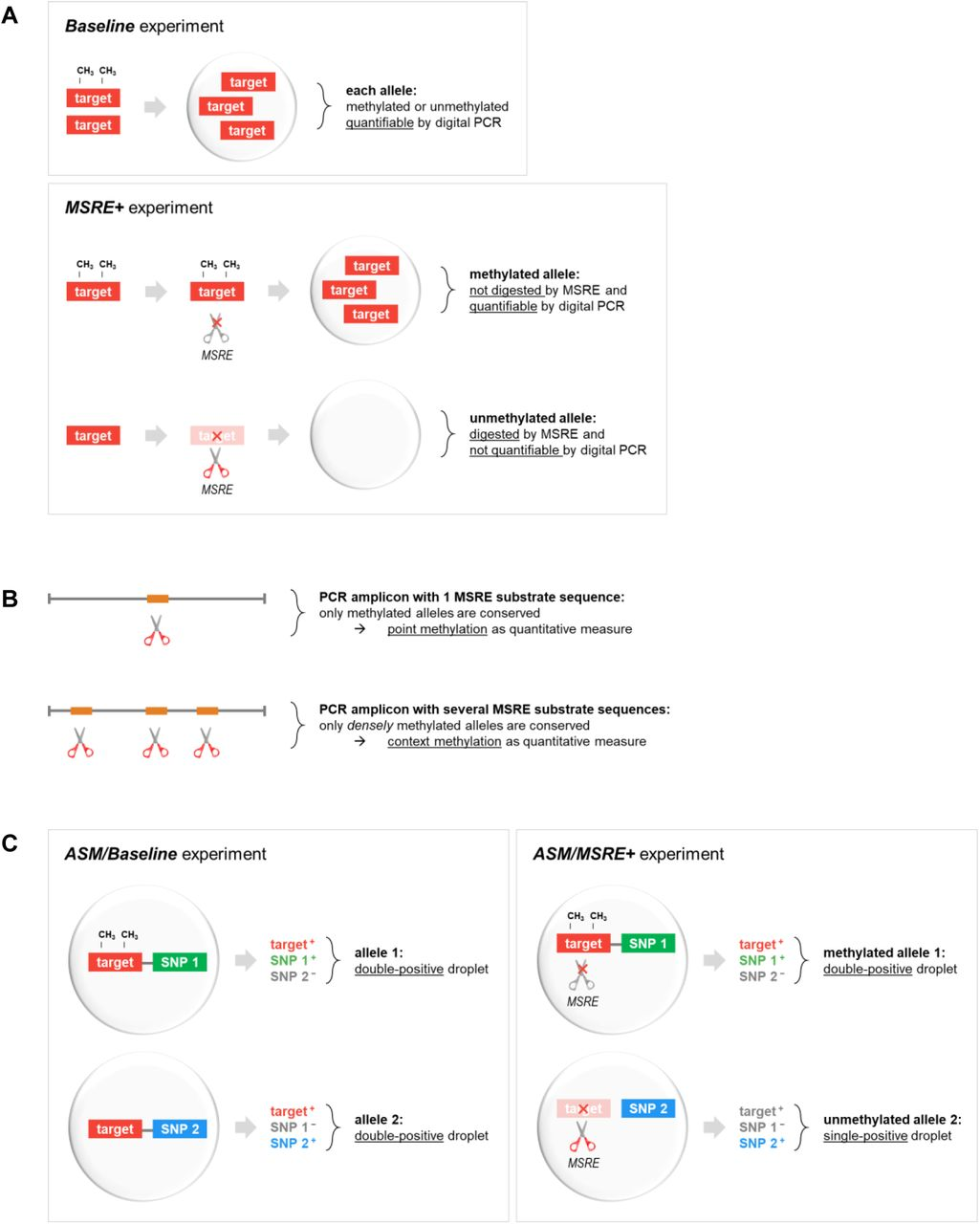 Concept of quantifying DNA methylation using MSRE and digital PCR. ( A ) A MSRE incubation of a DNA sample results in the digestion of unmethylated fragments by the MSRE, whereas methylated sequences remain intact. To calculate the fraction methylated alleles, the MSRE digestion is measured in two separate duplex digital PCR experiments: one Baseline experiment measuring the initial presence of target of interest, and one MSRE+ experiment measuring the presence after MSRE digestion. ( B ) The density of DNA methylation can be integrated in the quantification by the selection of PCR amplicon and MSRE. ( C ) A methylation marker may be measured in combination with a linked genetic marker (i.e. a heterozygous SNP) to determine the allele-specificity. As intact alleles (with both the methylation target and one of the SNP variants) will end up in one digital PCR partition (i.e. droplet), a double-positive signal will be measured. After MSRE digestion within the droplet, unmethylated target will be digested, leading to single-positive signals, while methylated targets are conserved and still result in double-positive signals.