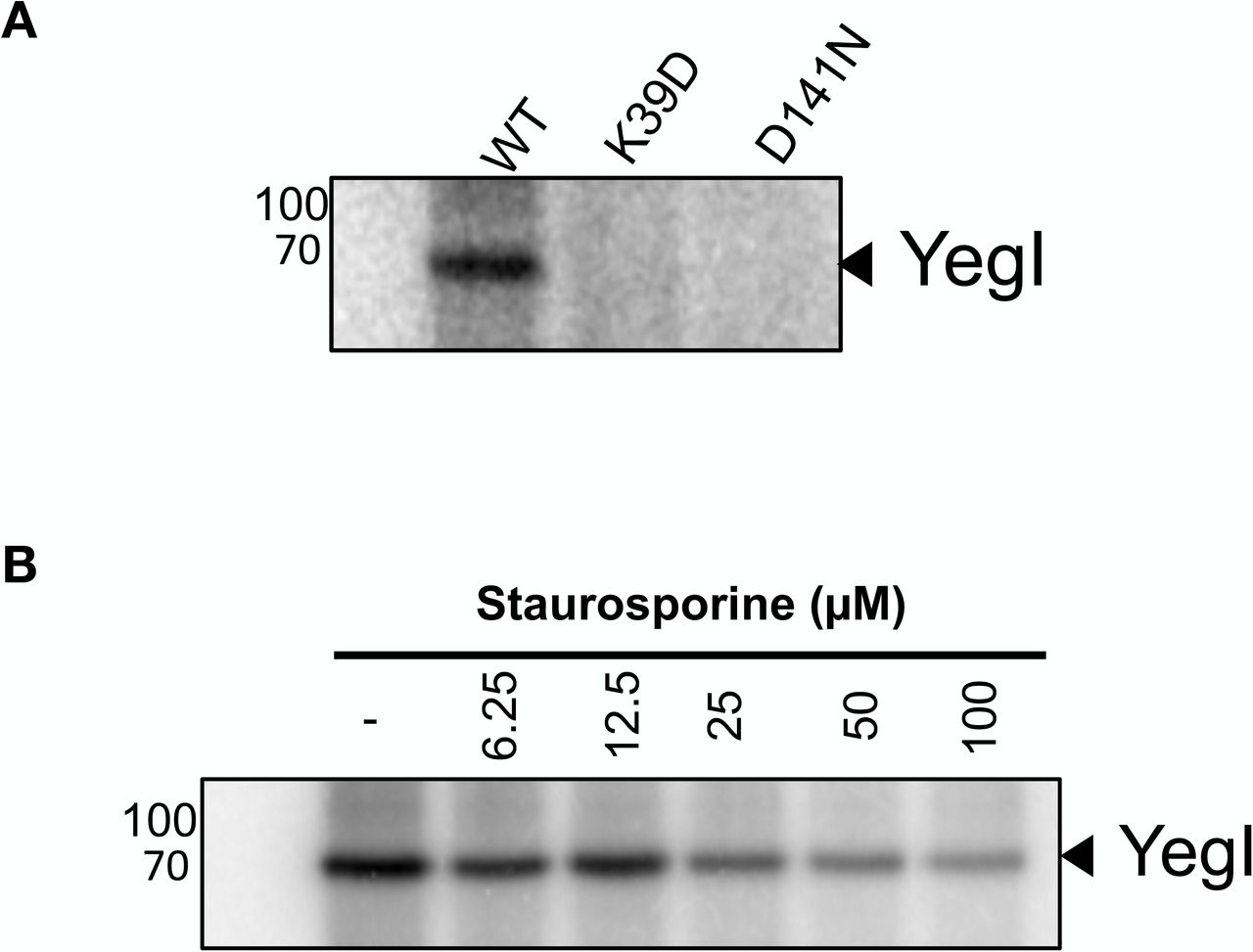 YegI is an active kinase (A) Kinase activity of YegI : Autophosphorylation reactions were carried out at 37 °C with 0.2 μM of YegI (WT or K39D or D141N) in kinase buffer (50 mM Tris pH 7.5, 50 mM KCl, 1 mM DTT, 10 mM MgCl 2 , 10 mM MnCl 2 , 200 μM cold ATP and 5 μCi γ -[ 32 P]ATP. Reactions were stopped at t=30 mins and run on 12 % SDS-PAGE followed by autoradiography. Molecular weights (kDa) are indicated on the right of the gel. (B) Sensitivity to staurosporine: Autophosphorylation reactions were carried out at 37 °C with 1 μM of YegI (WT) in kinase buffer without cold ATP. Different concentrations of staurosporine (μM) was added to the reaction at indicated concentrations. Reactions were stopped at t=30 mins and run on 12% SDS-PAGE followed by autoradiography. Molecular weights are indicated on the right of the gel.