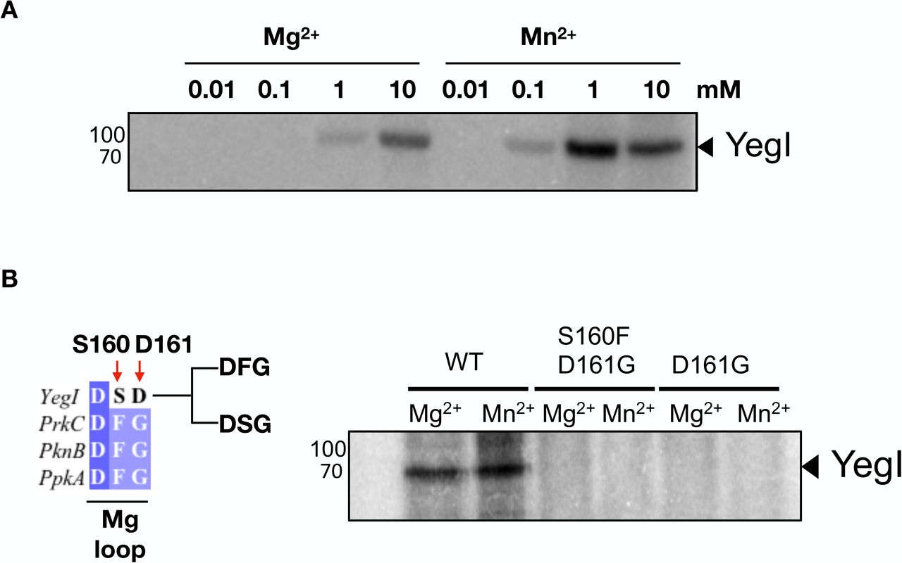 YegI is a Mn 2+ dependent kinase (A) Requirement of Mg 2+ /Mn 2+ for kinase activity: Autophosphorylation reactions were carried out at 37 °C with 1 μM of YegI (WT) in kinase buffer with indicated concentrations of MgCl 2 / MnCl 2 . Reactions were stopped at t=30 mins and run on 12% SDS-PAGE followed by autoradiography. Molecular weights are indicated on the right of the gel. (B) Requirement of DFG motif : Autophosphorylation reactions were carried out at 37 °C with 0.2 μM of YegI (WT or S160FD161G or D161G) in kinase buffer with either 10 mM MgCl 2 or MnCl 2 as described in Supp. Figure 3