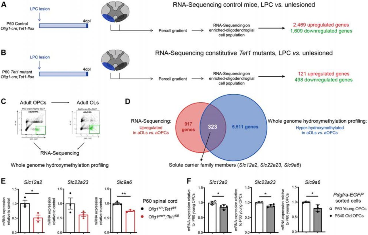 Identification of TET1-gene targets in adult oligodendrocyte progenitors. ( A ) Schematic of our experimental design of lysolecithin lesions performed in young P60 control Olig1 +/+ ;Tet1 fl/fl mice. RNA-Sequencing on oligodendroglial-enriched control and 4dpl tissues identifies 2,469 up- and 1,609 down-regulated genes after lesions in control mice. ( B ) Schematic of our experimental design of lysolecithin lesions performed in young constitutive Tet1 mutant ( Olig1 cre/+ ;Tet1 fl/fl ) mice. RNA-Sequencing on oligodendroglial-enriched control and 4dpl tissues identifies only 121 up- and 498 down-regulated genes after lesions in mutant mice, confirming the role of TET1 in oligodendroglial cells during repair. ( C ) Flow-Activated cell-sorting of P60 adult OPCs ( Pdgfrα-EGFP ) and P60 adult OLs ( Plp-EGFP ) for RNA-Sequencing and RRHP DNA hydroxy-methylation analysis. ( D ) Of the 917up-regulated genes during adult oligodendrocyte differentiation, 323 are also hyper-hydroxy-methylated, representing 35.2% of the upregulated genes, which includes solute carrier family members. ( E ) Quantitative real-time PCR analysis of Slc12a2 , Slc22a23 and Scl9a6 in Olig1 +/+ ;Tet1 fl/fl and Olig1 cre/+ ;Tet1 fl/fl spinal cord tissue, showing a decrease of all three Slc12a2 , Slc22a23 and Slc9a6 expression levels in mutant tissues. Data represent average transcript levels relative to control, after normalization ± SEM for n=3 independent experiments each performed in triplicates. *p