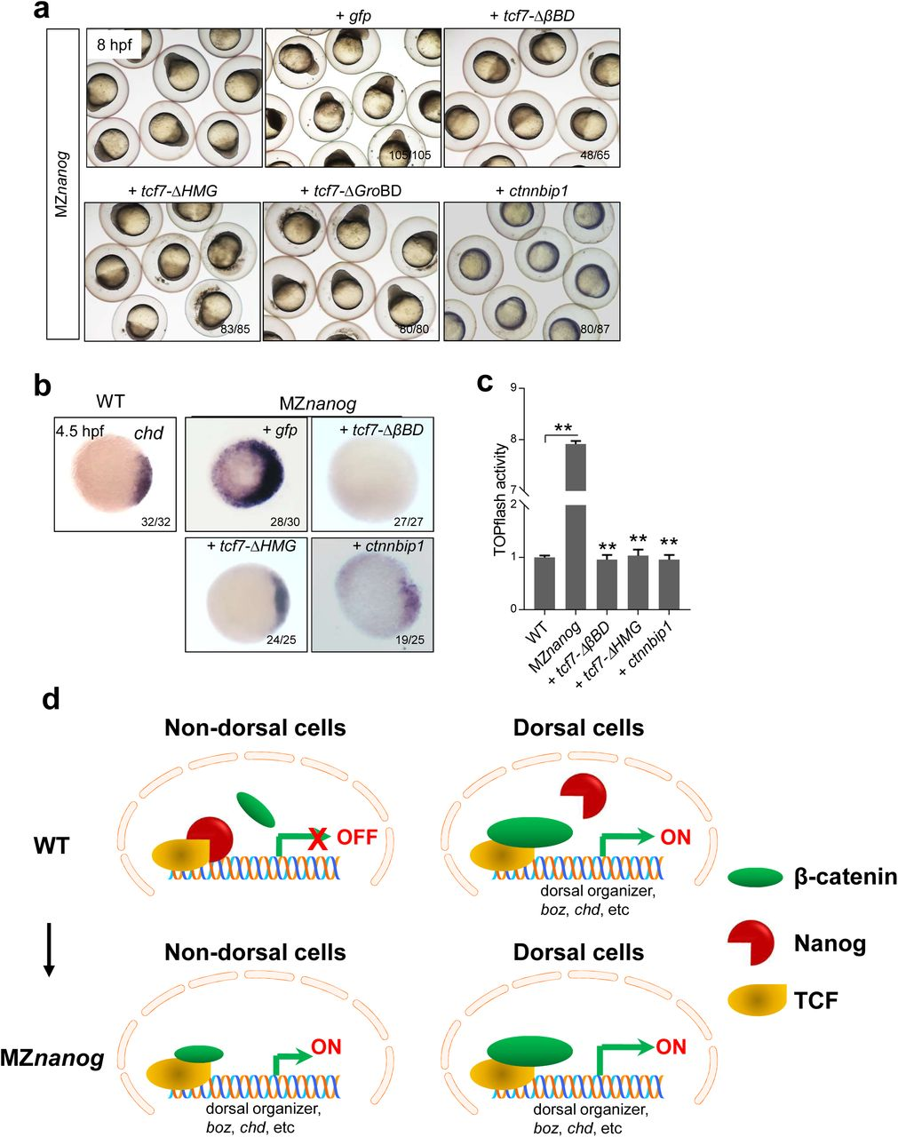 Confrontation of the β-catenin transcriptional activity in nucleus rescues the developmental defect of MZ nanog . ( a ) Overexpression of tcf7-Δ βBD, tcf7-ΔHMG , or ctnnbip1 mRNA rescued the dorsalization phenotype of MZ nanog , while overexpression of tcf7-ΔGroBD did not. Phenotype was observed at 8 hpf. At least 50 embryos were injected and three independent experiments were performed. ( b ) Excessive and ectopic expression of chd in MZ nanog was rescued by overexpression of tcf7-Δ βBD, tcf7-ΔHMG , or ctnnbip1 . WISH analysis of chd was detected at 4.5 hpf. ( c ) Detection of TOPflash activity in rescued MZ nanog embryos. ** means p