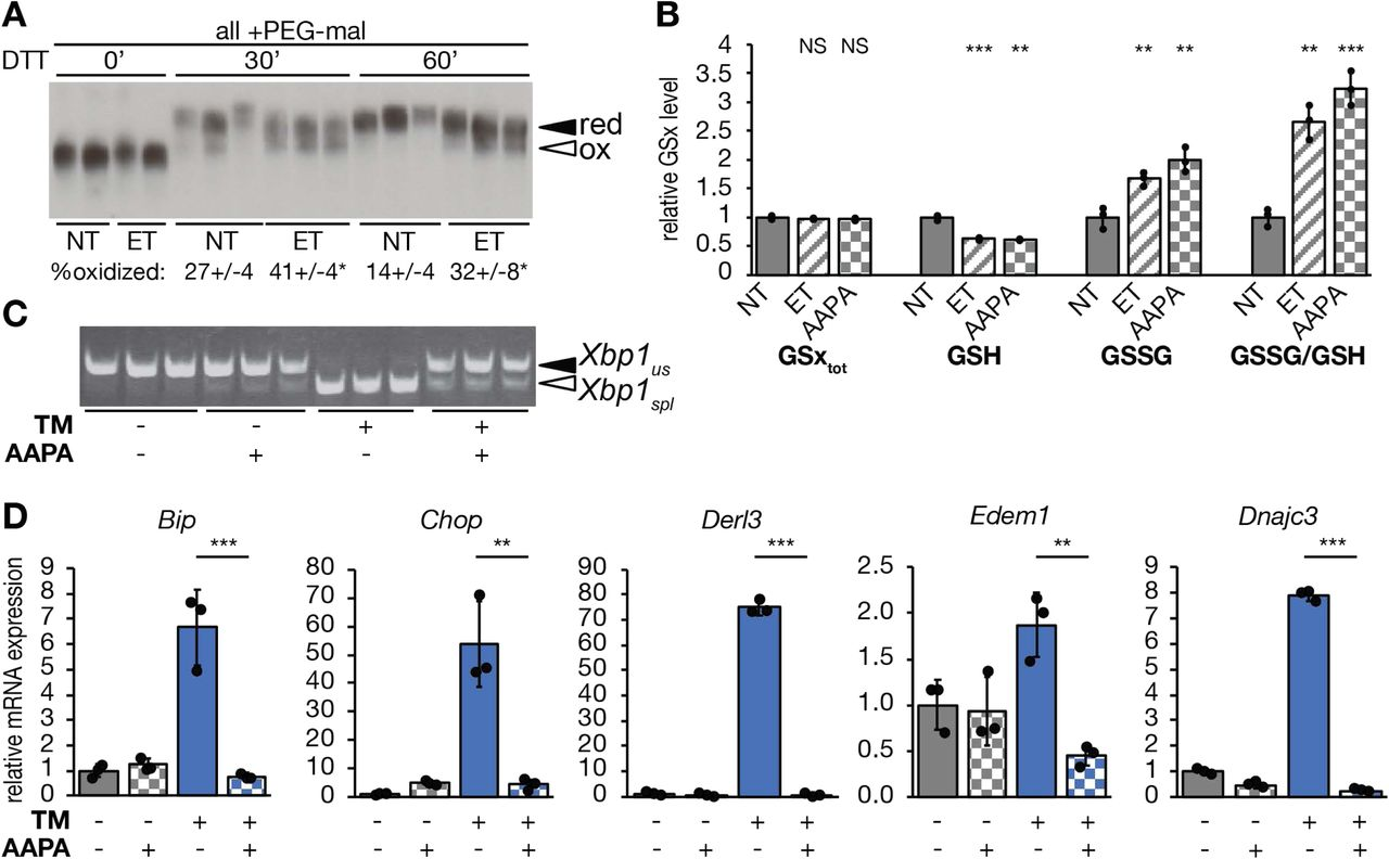 Inhibiting Glutathione Reductase attenuates ER stress. (A) Primary hepatocytes were treated with 25 µg/mL ET for 4 h followed by addition of 10 mM DTT for 0, 30, or 60 min. Protein lysates were treated with 4 µM mm(PEG) 24 prior to SDS-PAGE and immunoblotting to detect endogenous albumin. The percentage of oxidized albumin is given below each group, with statistical comparison between ET-treated and non-treated cells. (B) Primary hepatocytes were treated with 25 μg/ml ET or 25 µM 2-AAPA for 8 h. Levels of total (GSx tot ), reduced (GSH), and oxidized (GSSG) glutathione, and the ratio of GSSG to GSH were measured fluorometrically and expressed relative to untreated cells. (C) Splicing of Xbp1 mRNA was measured by conventional RT-PCR, and (D) mRNA expression of UPR markers was measured by qRT-PCR in cells treated for 8 h with TM and/or 2-AAPA.