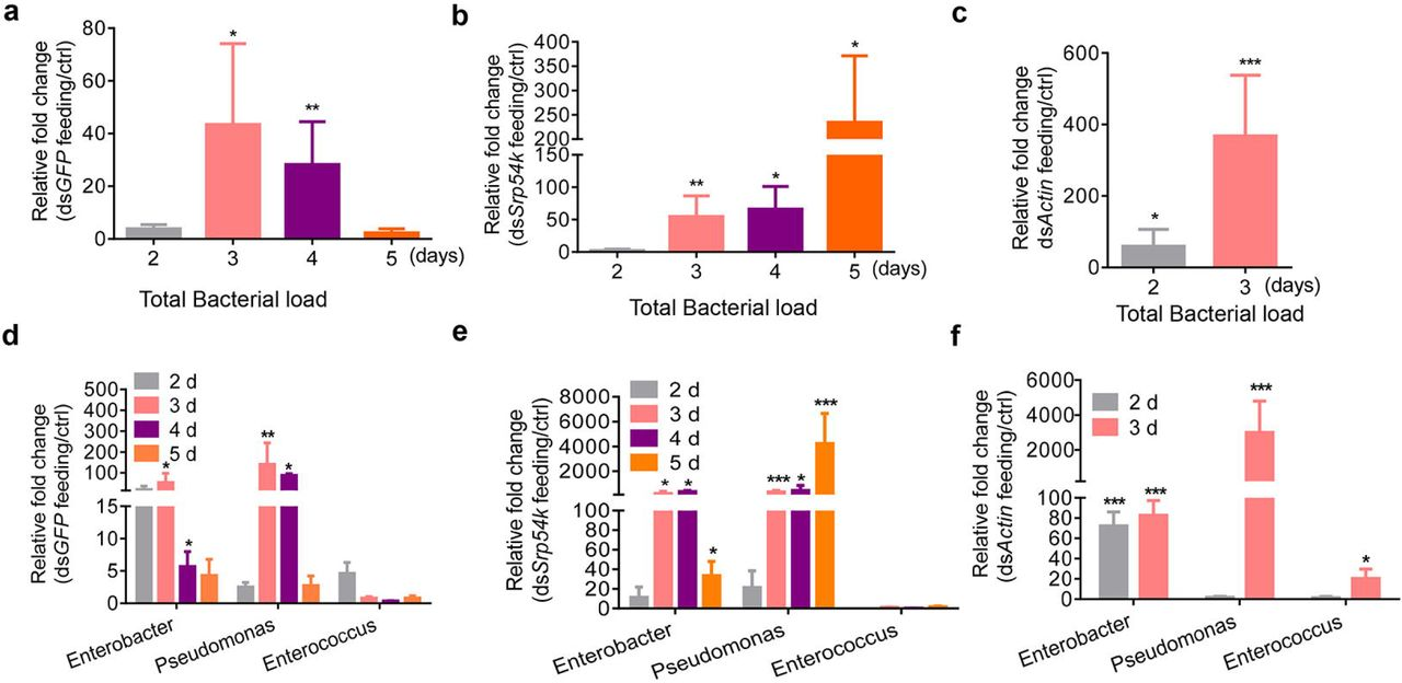 Ingestion of dsRNA promotes the growth of gut bacteria in P. versicolora larvae. qRT-PCR analyses were performed to determine the relative abundance of gut bacteria in P. versicolora larvae fed with ds GFP ( a ), ds Srp54k ( b ) and ds Actin ( c ) (n = 5), and the abundances of three major bacterial genera in non-axenic P. versicolora larvae fed with ds GFP ( d ), ds Srp54k ( e ) and ds Actin ( f ). The measurements were performed at different time points (after 2-5 days of feeding). The qRT-PCR value obtained for gut bacterial 16S rRNA in P. versicolora control larvae (fed with water-treated leaves) was set as 1.0. P -values were calculated using the independent-samples t -test. Data are presented as means ± SE, *** P
