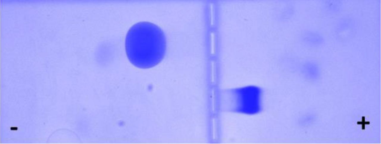 Horizontal nondenaturing PAGE displaying migration of anionic (BSA) and cationic (lysozyme) proteins. PAGE was performed by loading 15 μL of 2 μg/μL protein solution mixed with 3μL 6X mixed dyes solution on the wells in the middle of a gel (5% Acrylamide-N,N-bisacrylamide, 38:2). After running with non-denaturing buffer (30 mM MOPS-25 mM histidine pH 6.5), at constant voltage (100V) for 1 hour, at 4 °C, the gel was stained with <t>Coomassie</t> Blue R-250 according to the protocol published by Dong et al. [ 5 ]. The figure displays migration of BSA (pI 4.8) toward the anode and migration of lysozyme (pI 11.3) toward the cathode.