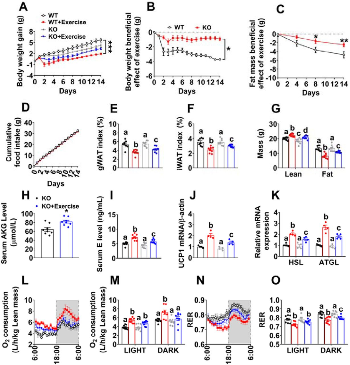 OXGR1 is required for metabolic beneficial effects of resistance exercise (A). Body weight gain in male WT littermates and OXGR1KO mice. At 8 weeks of age, male C57BL/6 WT control or OXGR1KO mice were switched to HFD. After 12 weeks of HFD feeding, mice were further divided into two groups, receiving non-exercise or resistance exercise for 14 days. (n = 8 per group). (B). Exercise-induced body weight loss in male WT littermates and OXGR1KO mice. Body weights from exercise mice were subtracted by the average body weight of non-exercise control group for each genotype (n = 8 per group). (C). Exercise-induced fat mass loss in male WT littermates and OXGR1KO mice. Fat mass from exercise mice were subtracted by the average fat mass of non-exercise control group for each genotype (n = 8 per group). (D). Cumulative food intake of male WT littermates and OXGR1KO mice after 14-day resistance exercise (n = 8 per group). (E-F). Weight index of gWAT (E) and iWAT (F) of male OXGR1KO mice after 14-days resistance exercise (n = 8 per group). (G). Body composition of male OXGR1KO mice after 14-days resistance exercise (n = 8 per group). (H). Serum AKG levels of male OXGR1KO mice after resistance exercise. Male OXGR1KO mice (10 weeks) fed with normal chow were receiving resistance exercise for 40 min (n = 8 per group). The serum AKG levels were tested before and immediately after exercise. (I). Serum E level in male OXGR1KO mice after 14-day resistance exercise (n = 8 per group). (J-K). The mRNA expression of UCP1 (J) in the BAT or HSL and ATGL (K) in the gWAT of male OXGR1KO mice after 14-day resistance exercise (n = 4 per group). (L-O). Oxygen consumption (L-M) and RER (N-O) in male OXGR1KO mice after 14-day resistance exercise (n = 8 per group). Results are presented as mean ± SEM. In (A-D) *p≤0.05, ** p≤0.01 by two-way ANOVA followed by post hoc Bonferroni tests. In (H), *p≤0.05 by non-paired Student's t test. In (E-G), (I-K), (M) and (O), different letters between bars indicate